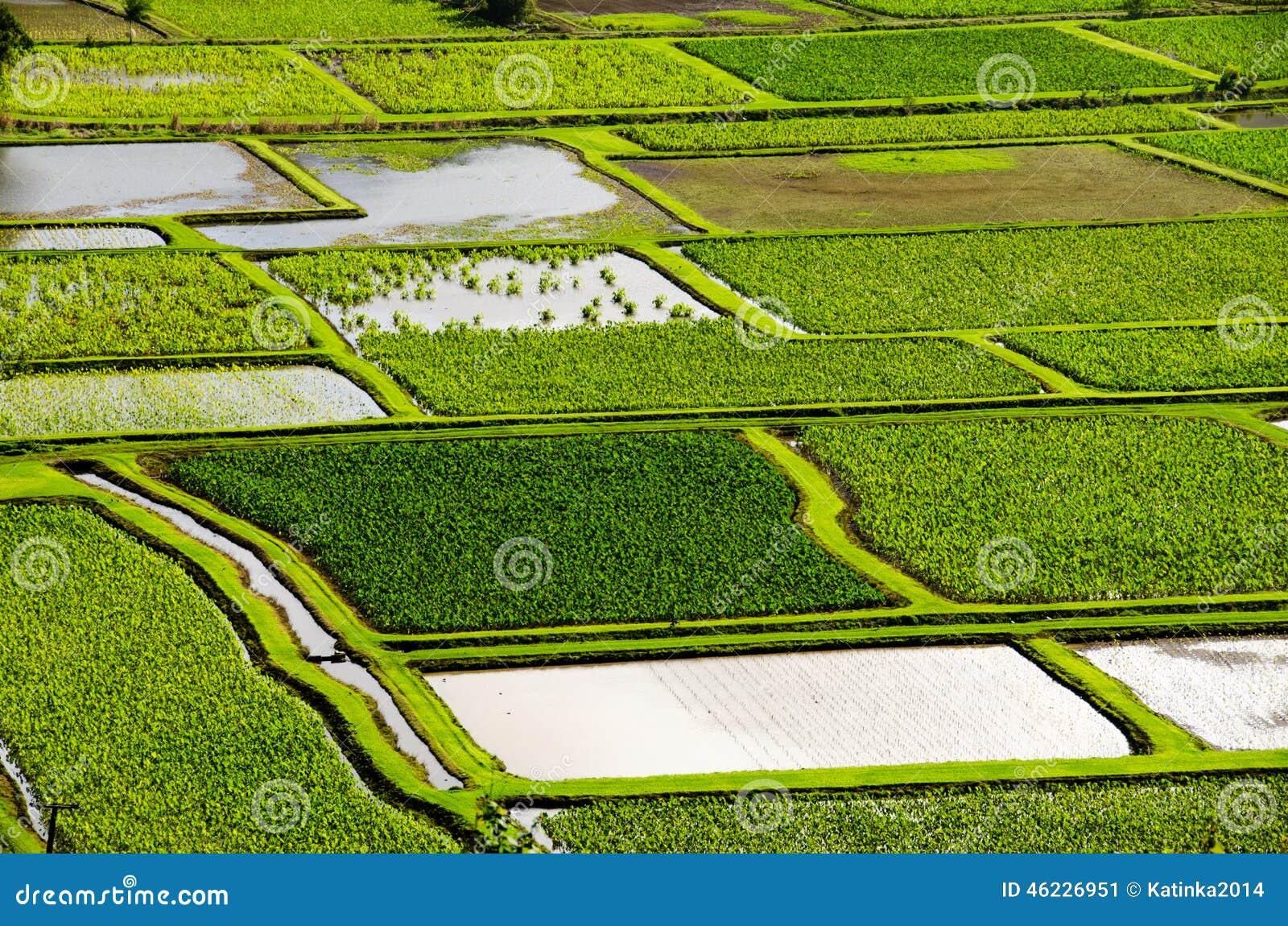 Taro paddy fields