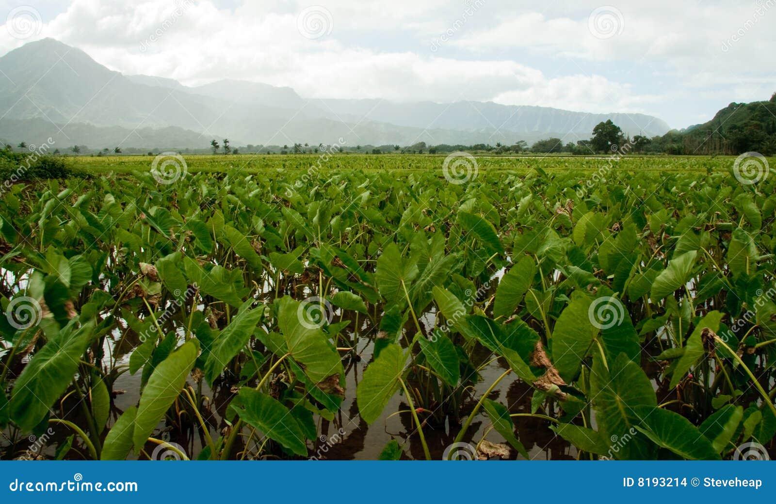 Taro plants in Hanalei valley