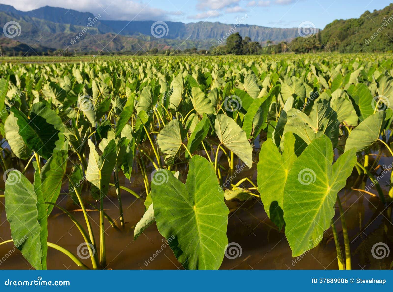 Taroinstallaties in Hanalei-Vallei op Kauai