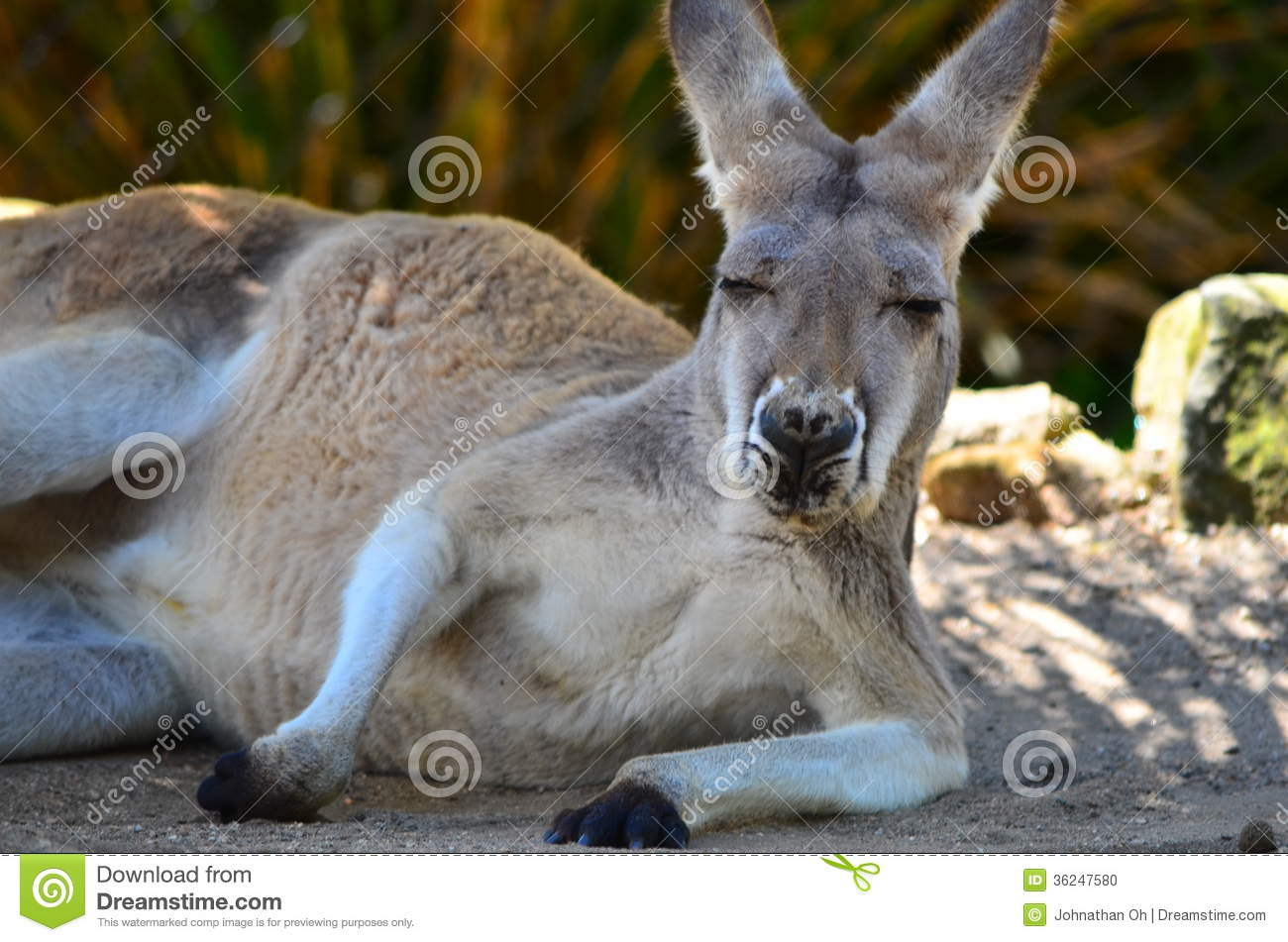 Taronga Zoo Kangaroo Stock Photo Image Of Sleeping