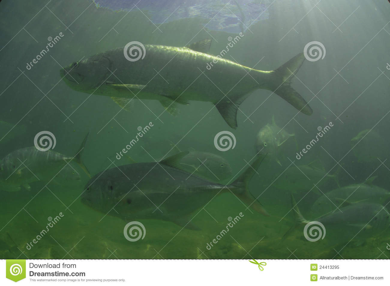Tarpon fish and lure vector design vector illustration for Dream of fish swimming