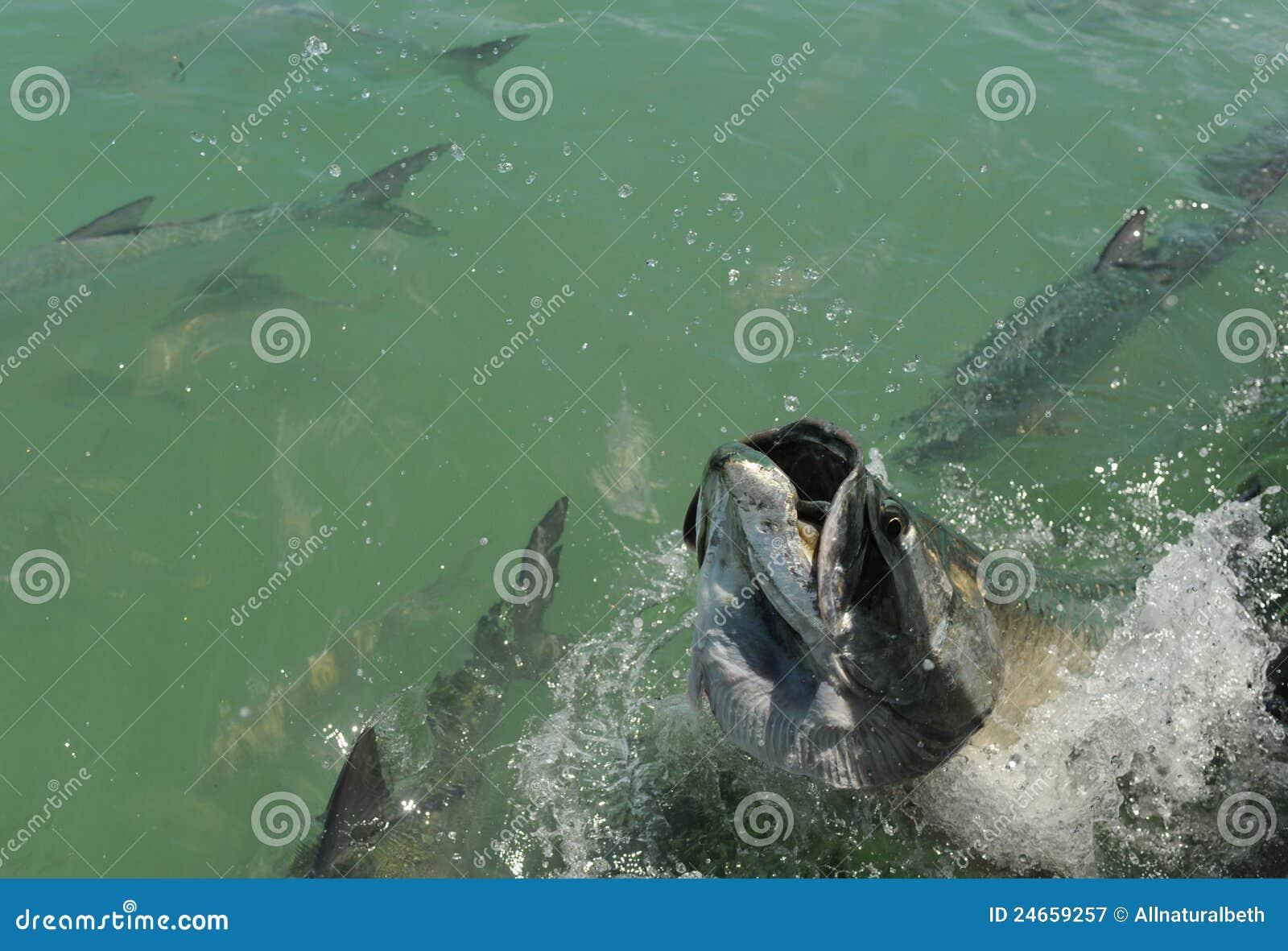 Tarpon fish jumping stock image image of ocean for Who sells fishing license near me