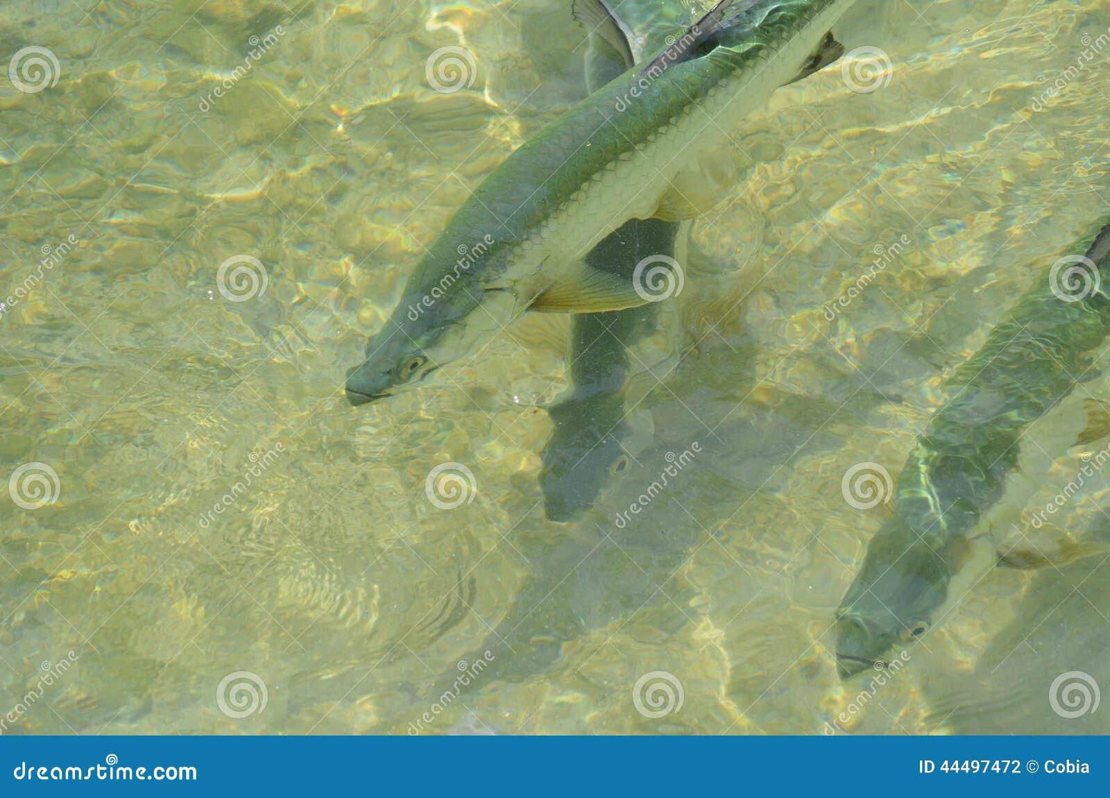 Tarpons (Megalops atlanticus) in shallow waters