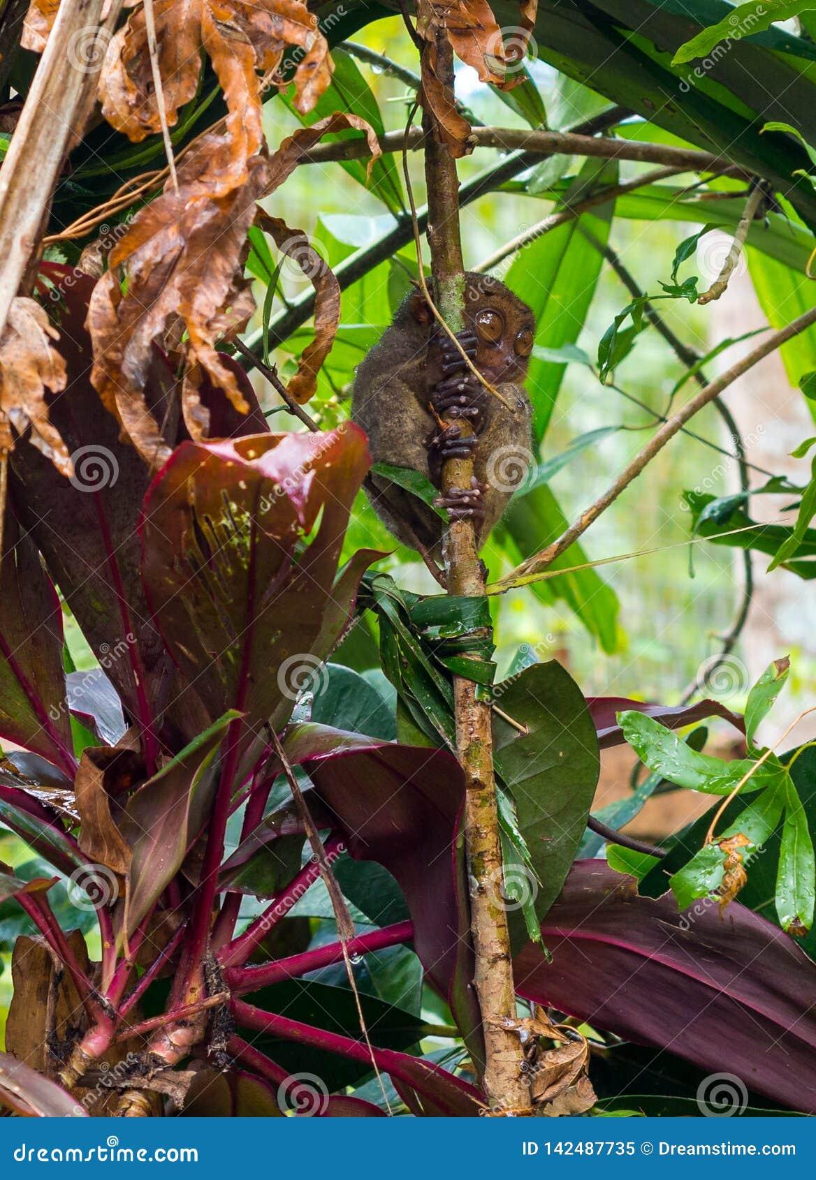 Tarsier małpa na bambusie