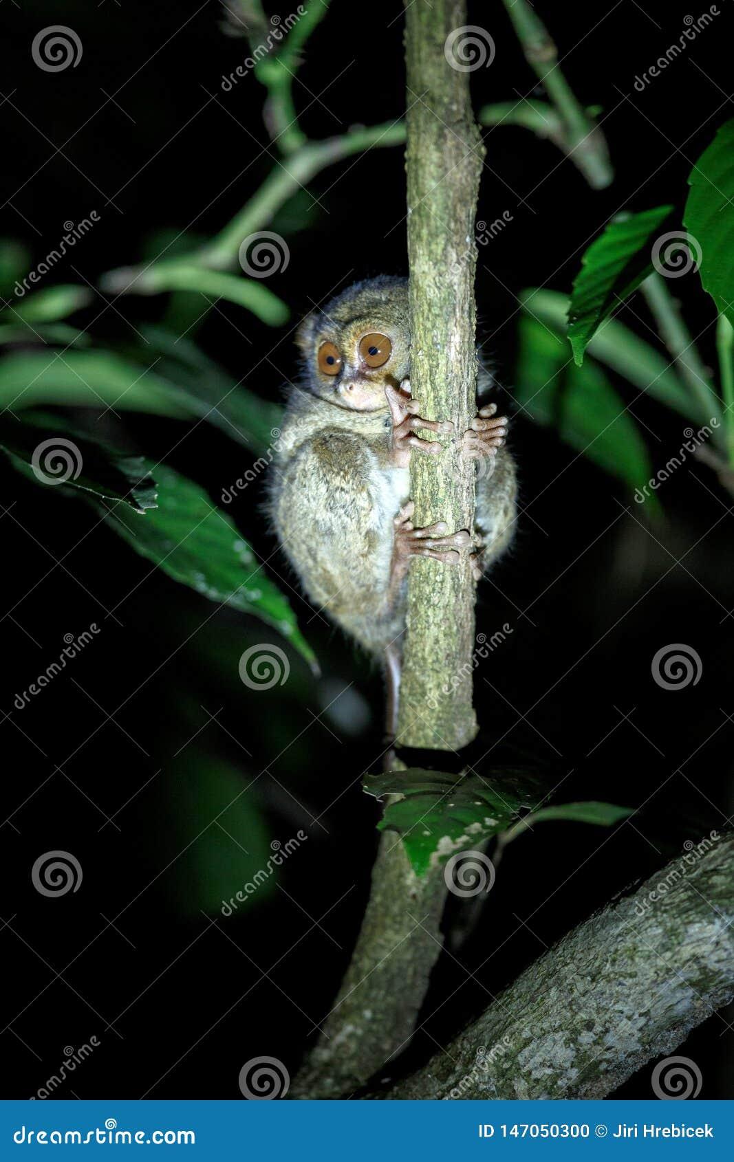 Tarsier spectral, spectre de Tarsius, portrait des mammif?res nocturnes end?miques rares, petit primat mignon dans le grand arbre