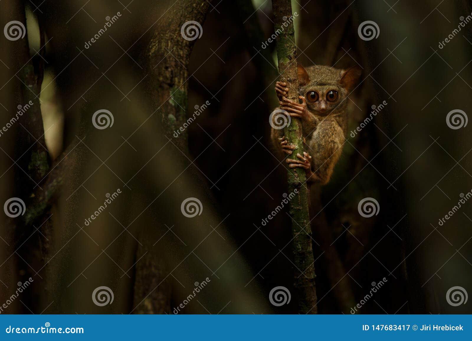 Tarsier spectral, Tarsius, portrait du mammif?re nocturne end?mique rare essayant d attraper et manger la sauterelle, primat mign