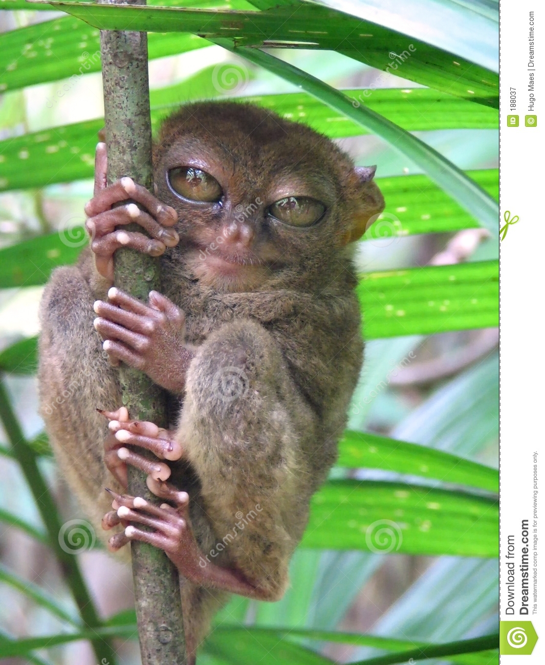 smallest primate in the wild, NOT in a zoo. Model for Spielberg's E.T ...