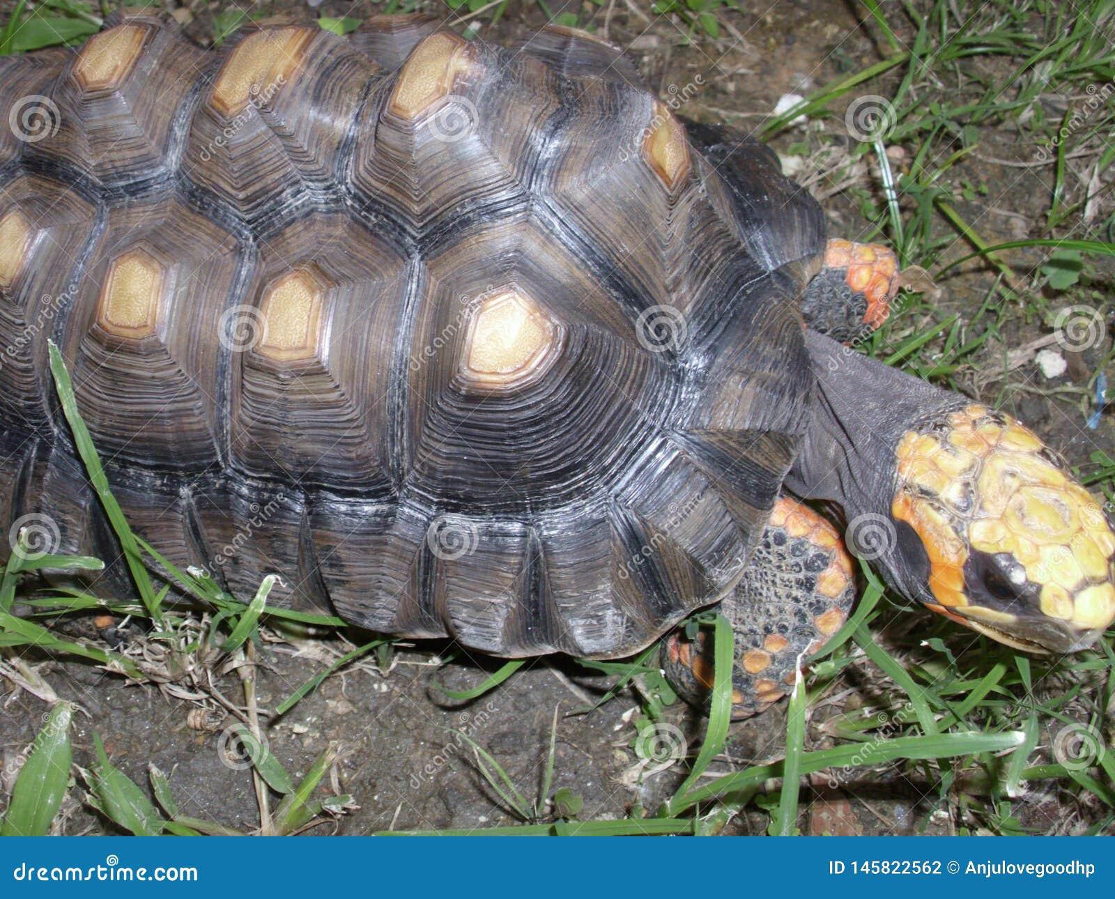 Tartaruga che cammina nell erba