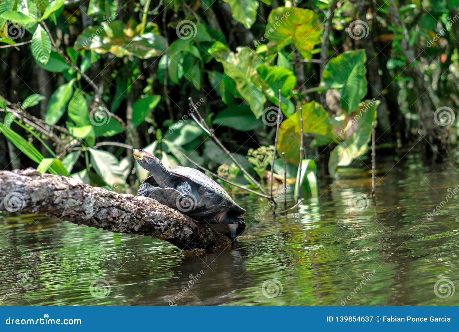 Tartaruga che scala un ceppo sopra il fiume nella giungla