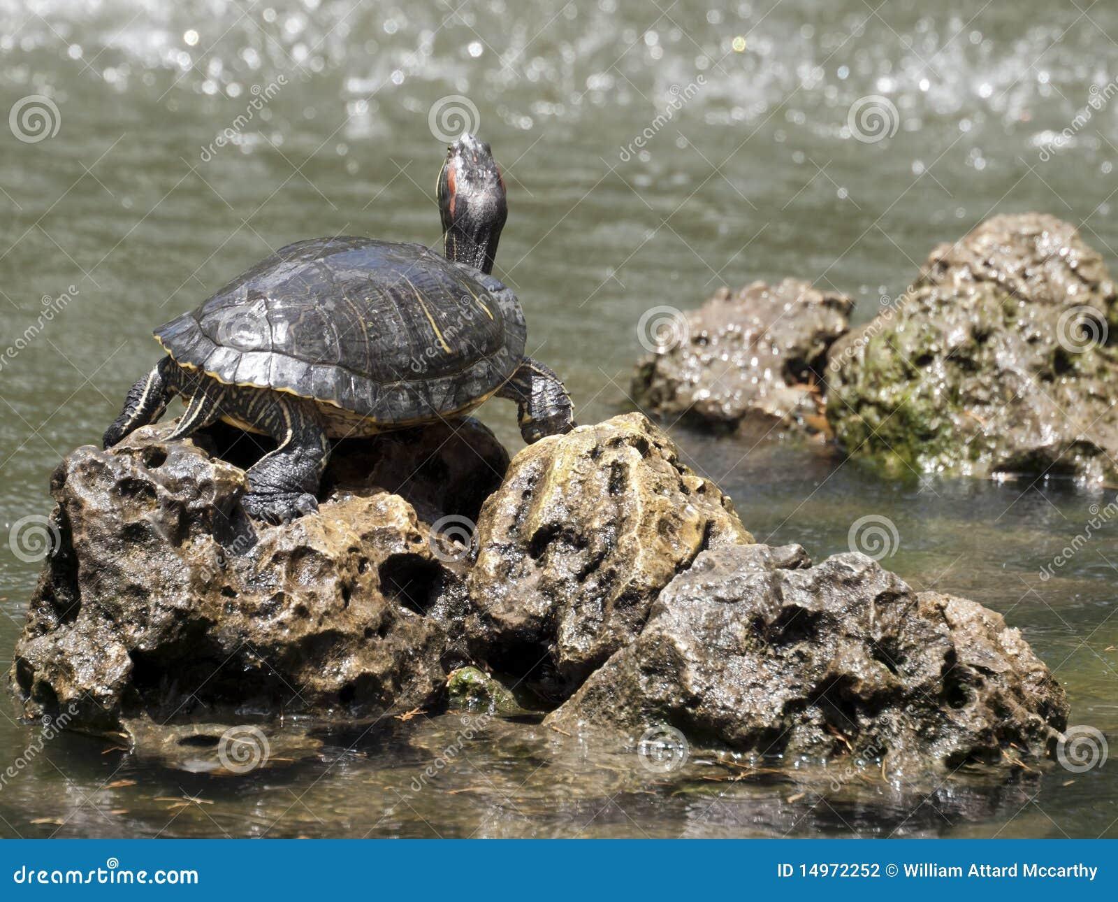 Tartaruga d 39 acqua dolce fotografia stock immagine 14972252 for Tartaruga acqua dolce razze