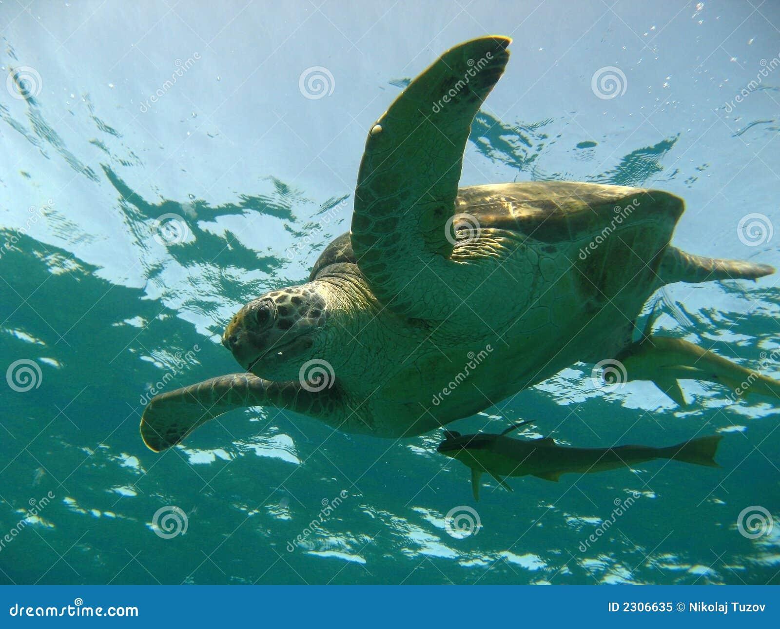 Tartaruga d 39 acqua dolce immagine stock immagine di verde for Tartaruga acqua dolce razze