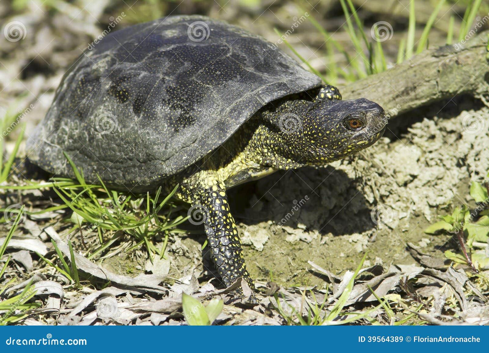 Tartaruga d 39 acqua dolce dello stagno orbicularis europei for Tartaruga acqua dolce razze
