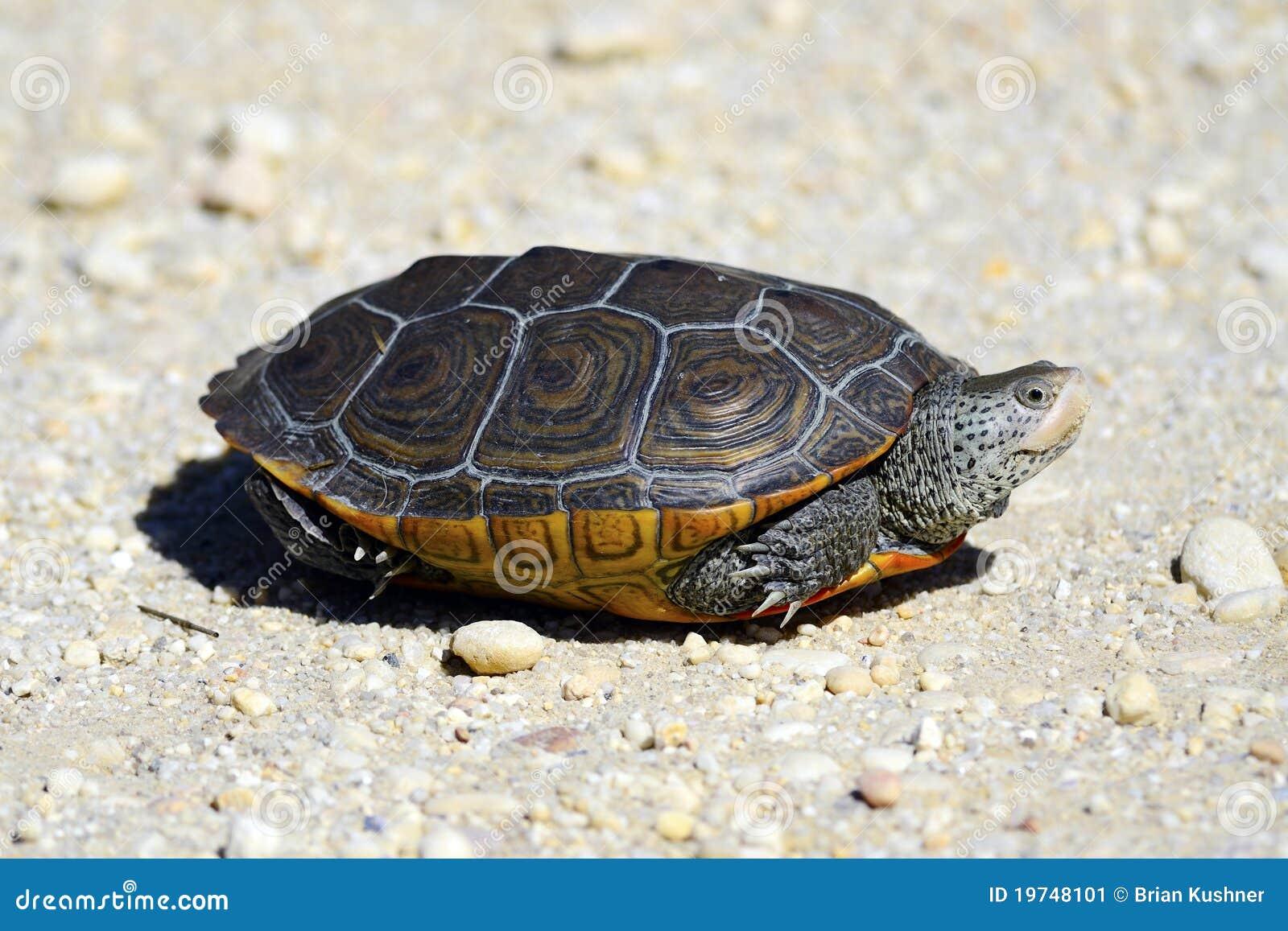 Tartaruga d 39 acqua dolce di diamondback immagine stock for Tartaruga acqua dolce razze