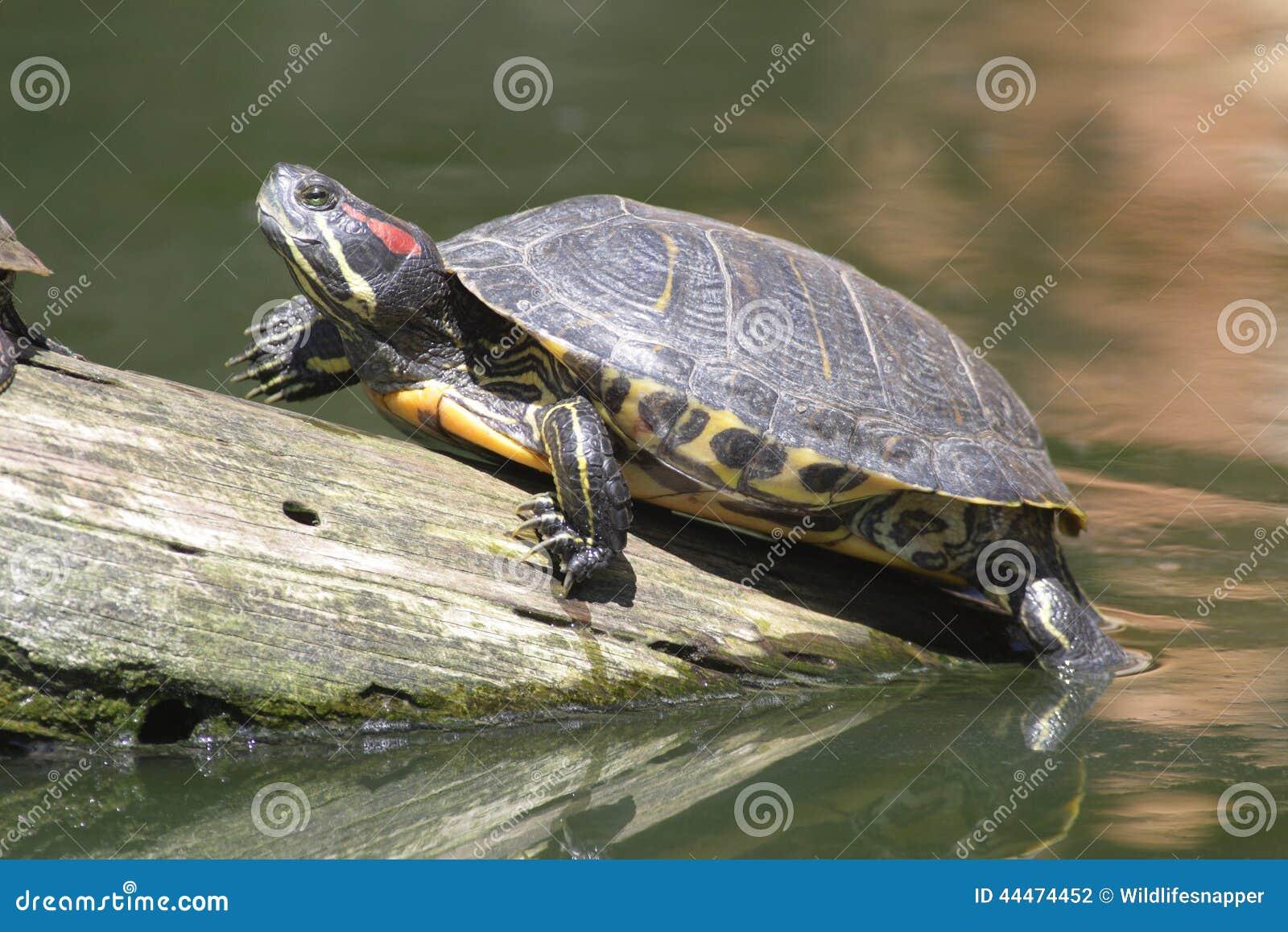 Tartaruga d 39 acqua dolce eared rossa elegans di trachemys for Lago per tartarughe