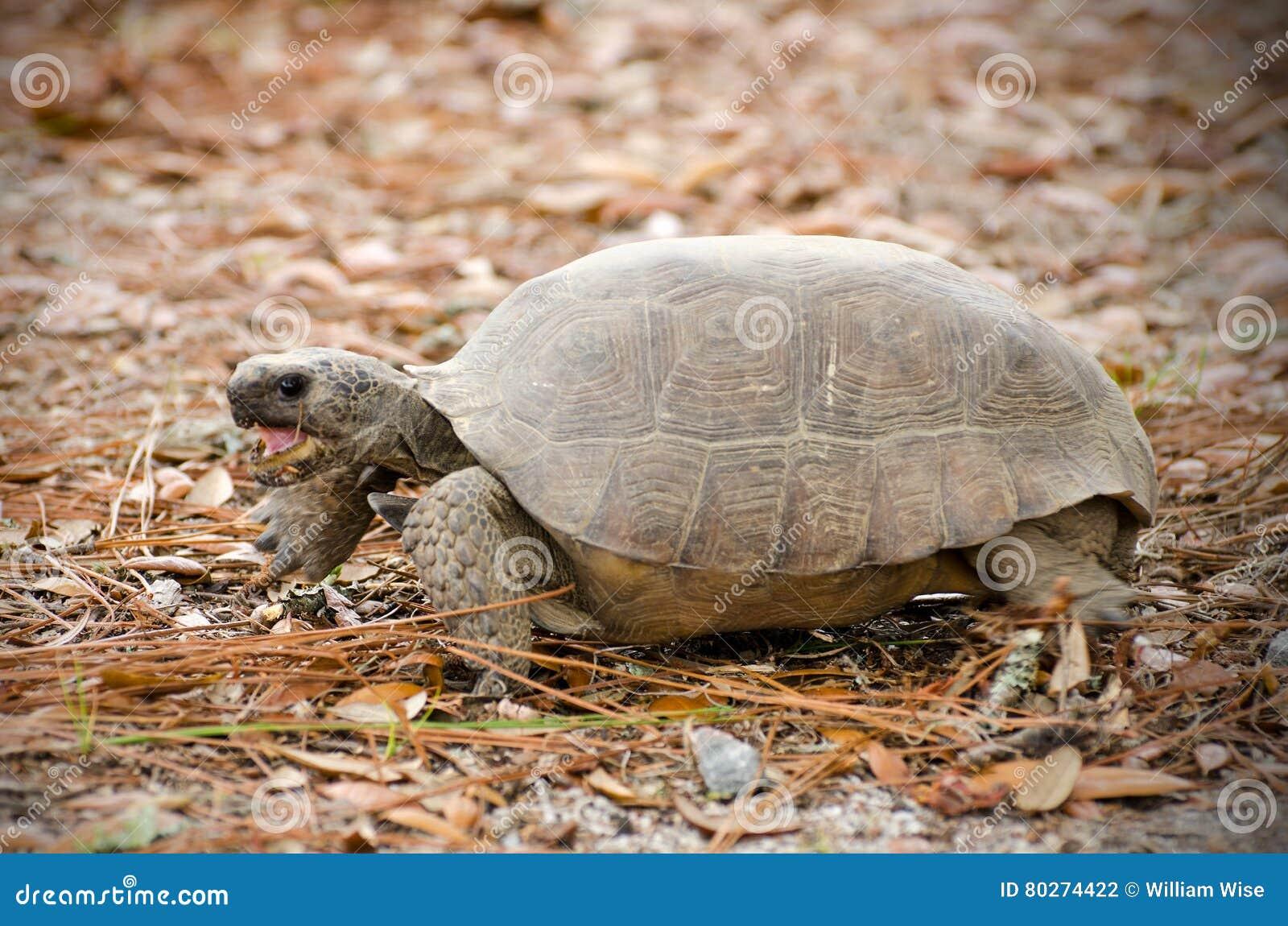 Tartaruga da tartaruga de Gopher, Reed Bingham State Park