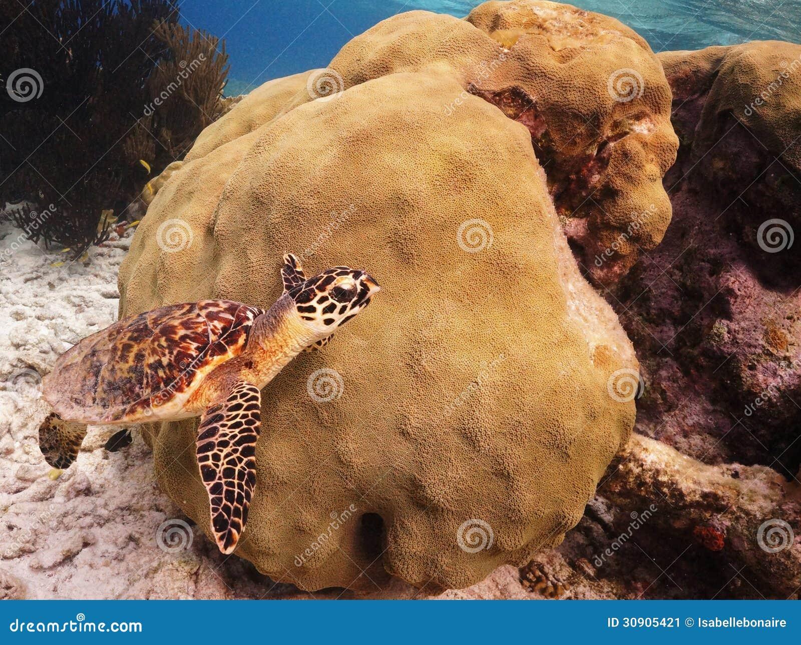 Tartaruga de Hawksbill