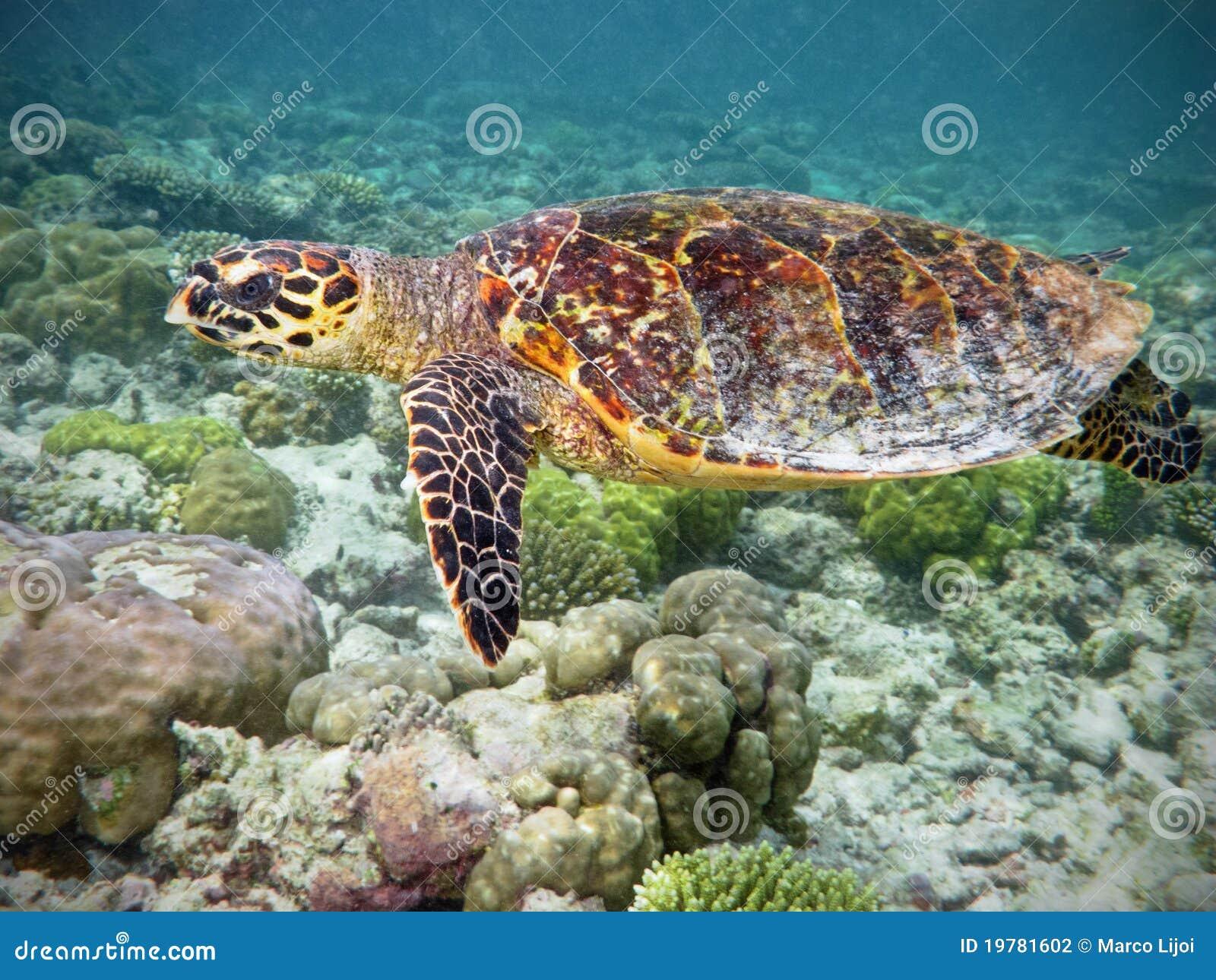 Tartaruga de Hawksbill no recife coral