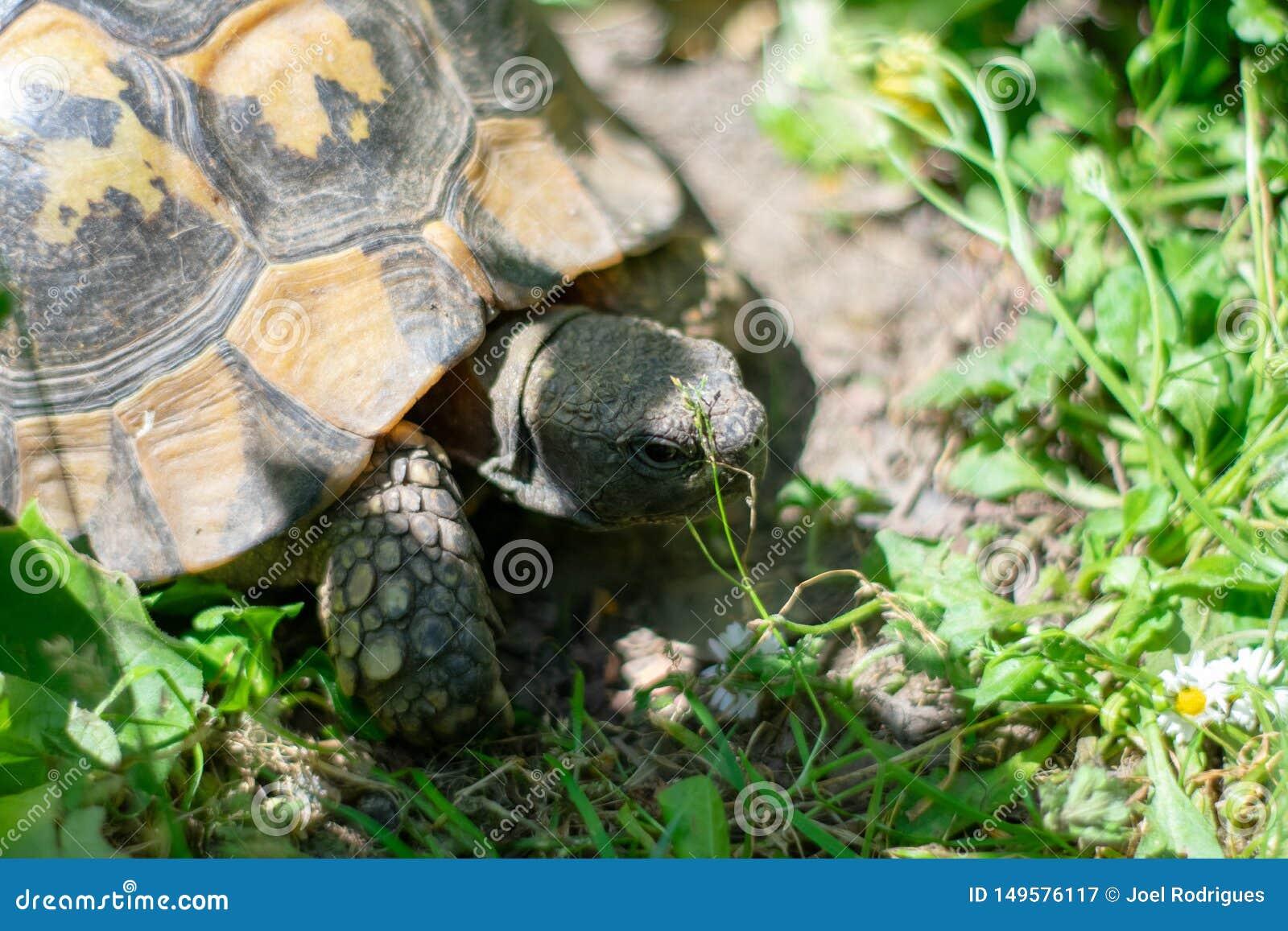 Tartaruga de Hermann que toma uma caminhada na grama verde no dia ensolarado