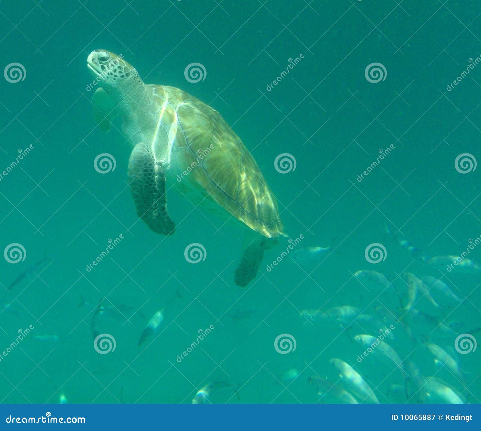 Tartaruga de mar aplainando
