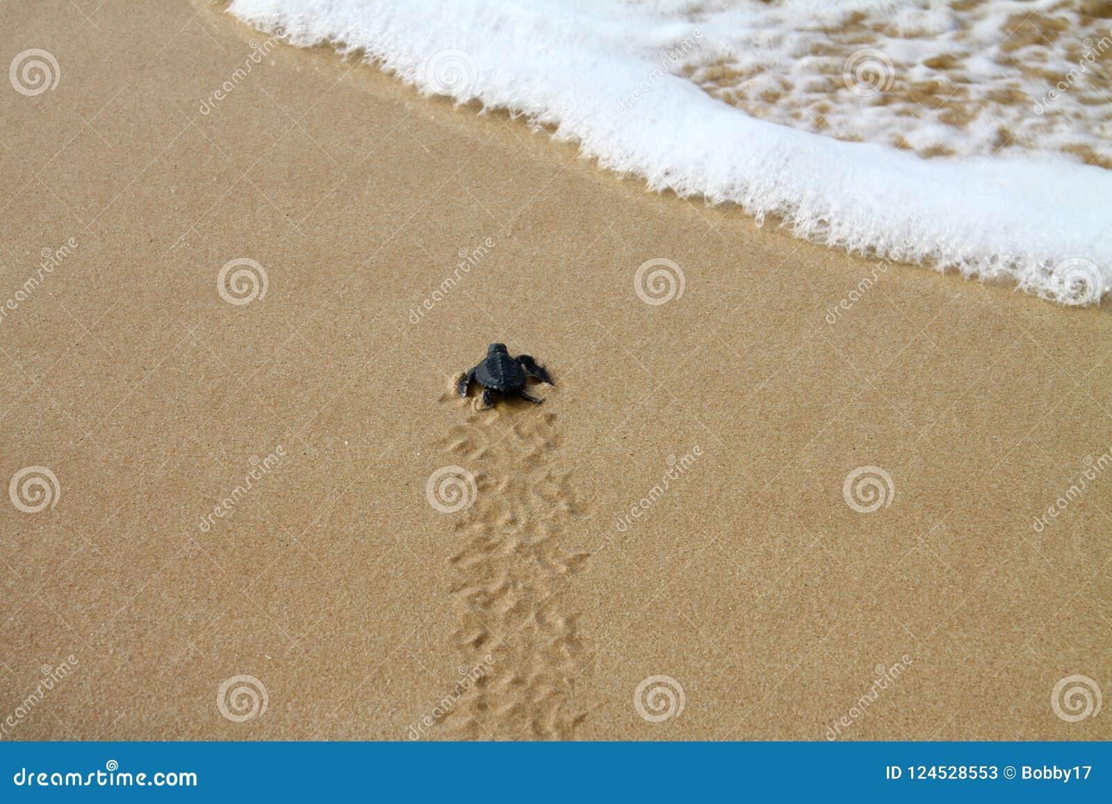 Tartaruga de mar chocada que deixa a pegadas na areia molhada nela a maneira do ` s no mar