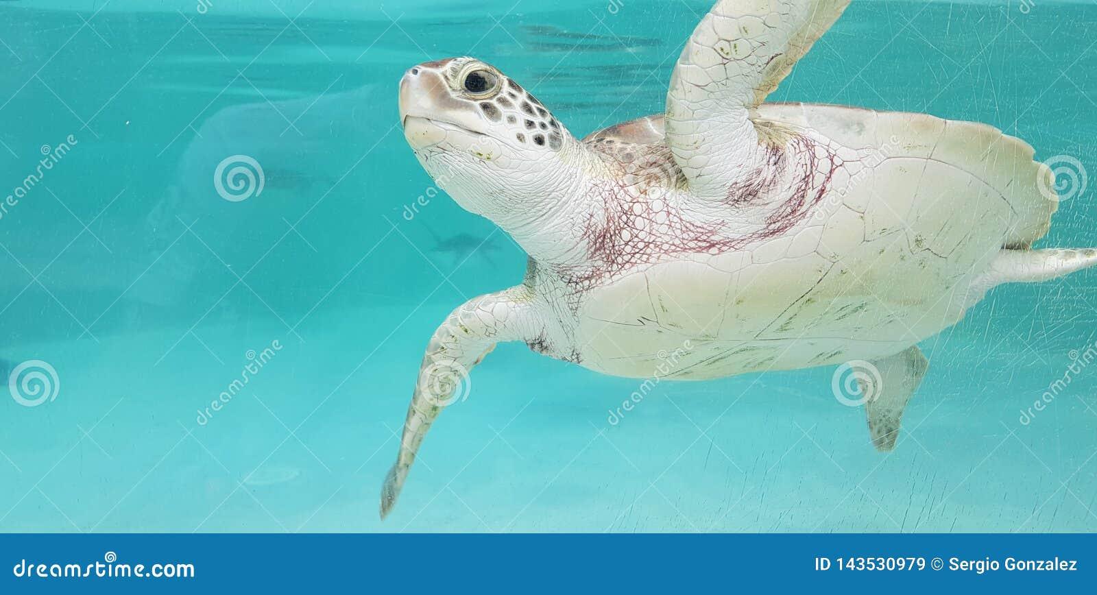 Tartaruga de mar das caraíbas em México