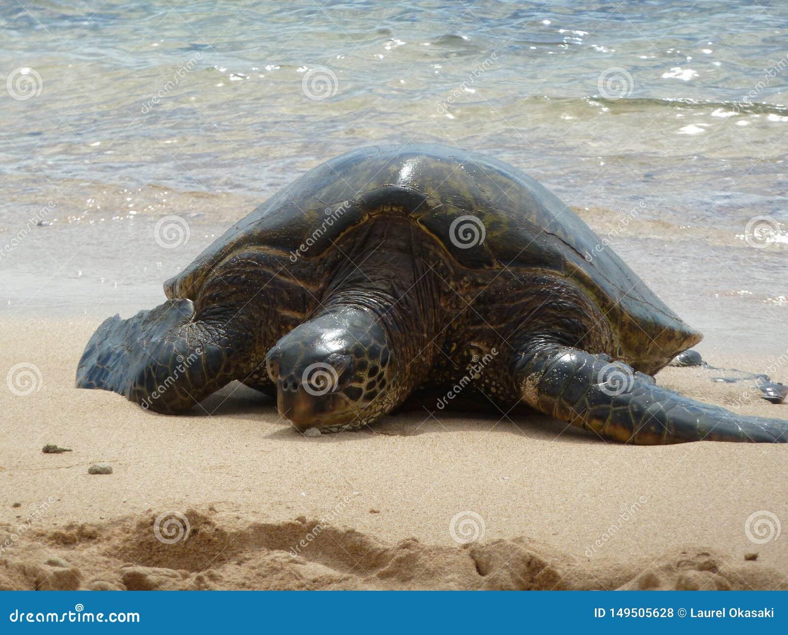 Tartaruga de mar e ressaca