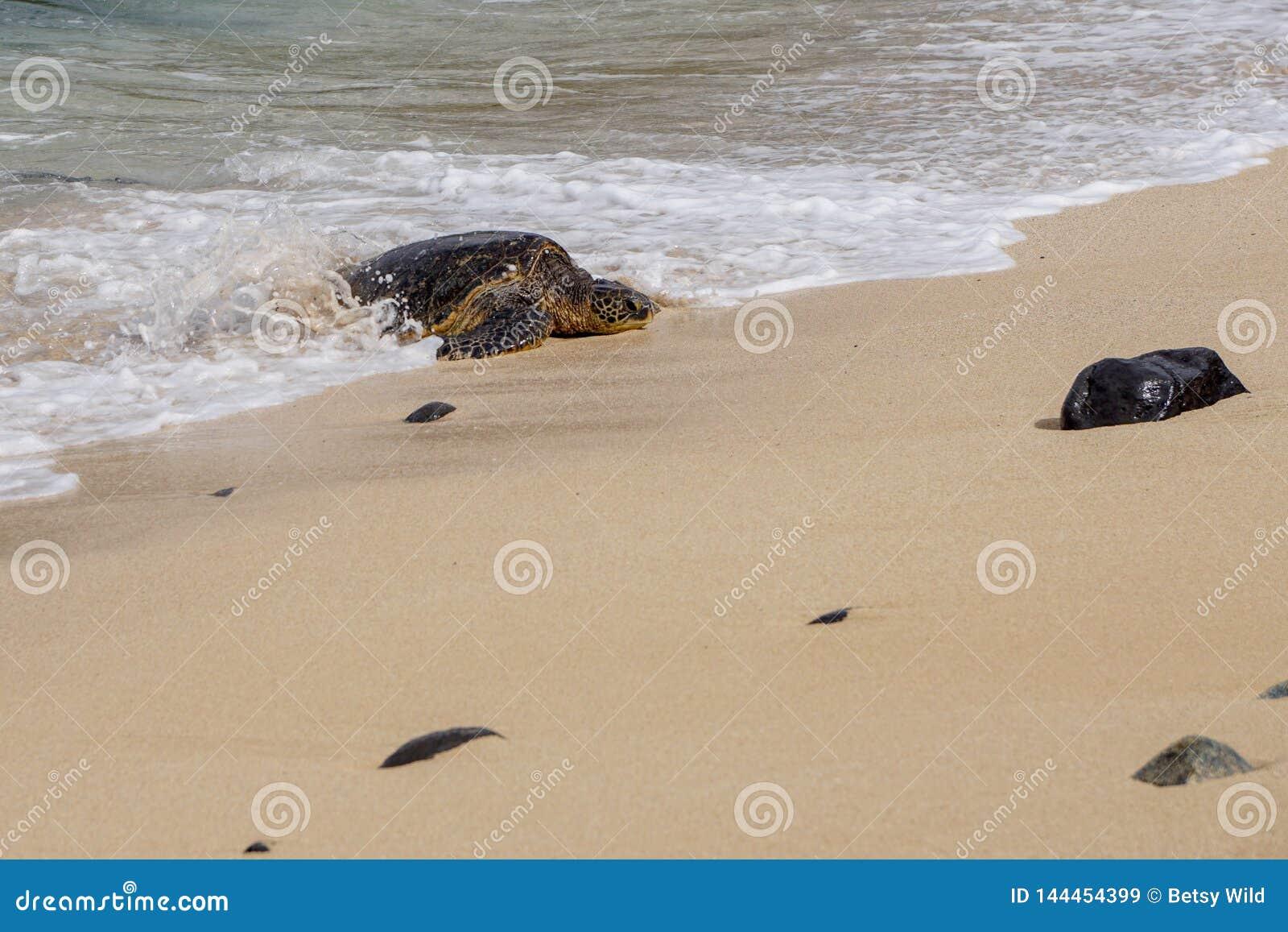 Tartaruga de mar que surfa na praia