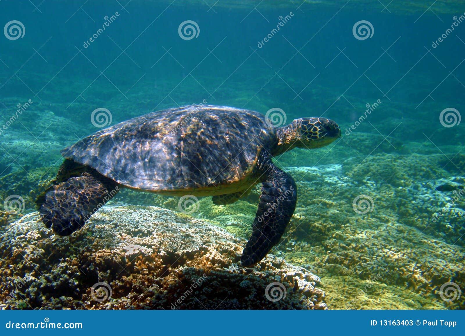 Tartaruga de mar verde de Havaí