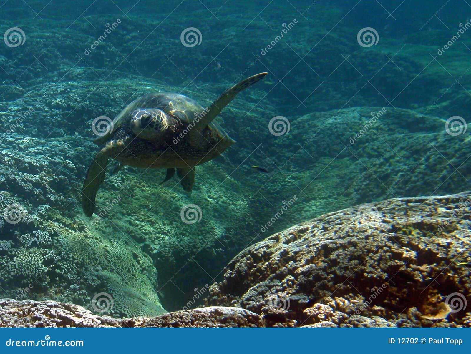 Tartaruga de mar verde subaquática