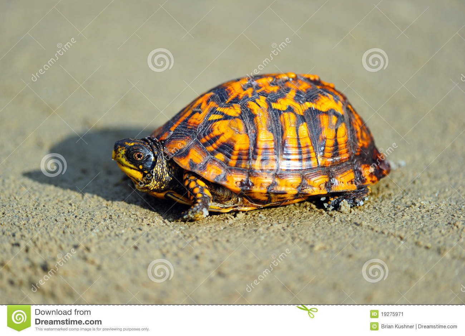 Tartaruga di casella