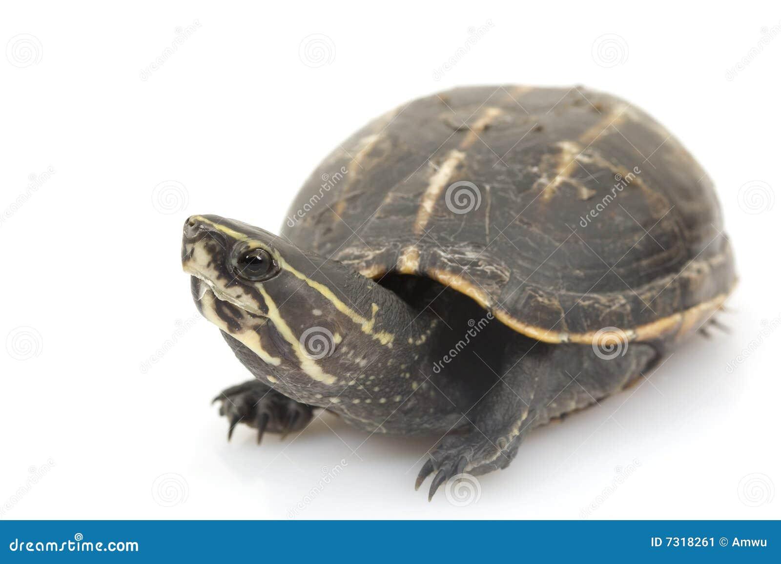 Tartaruga di fango Tre-A strisce
