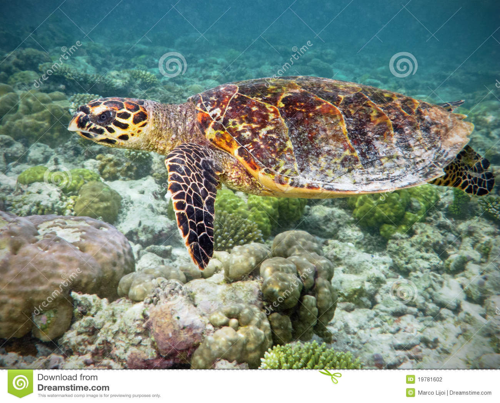 Tartaruga di Hawksbill in barriera corallina
