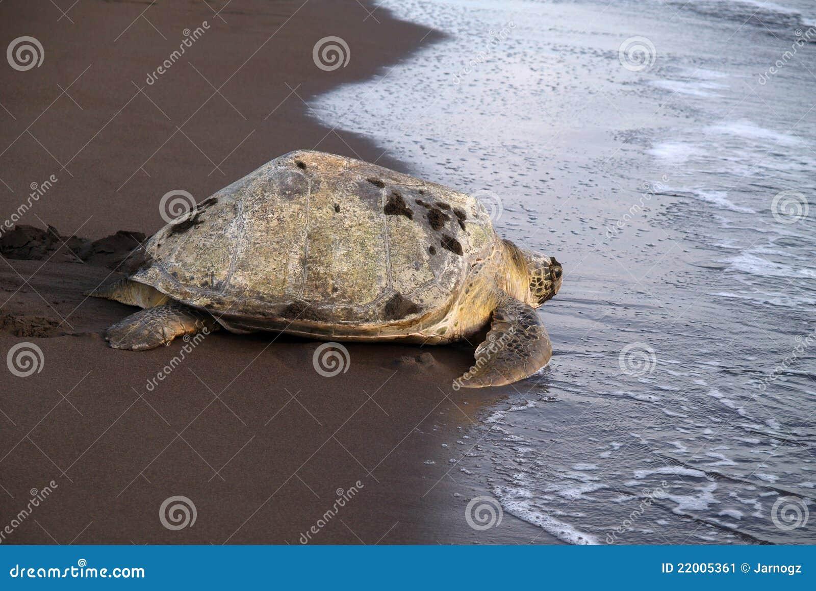 Tartaruga di mare nella sosta nazionale di Tortuguero, Costa Rica