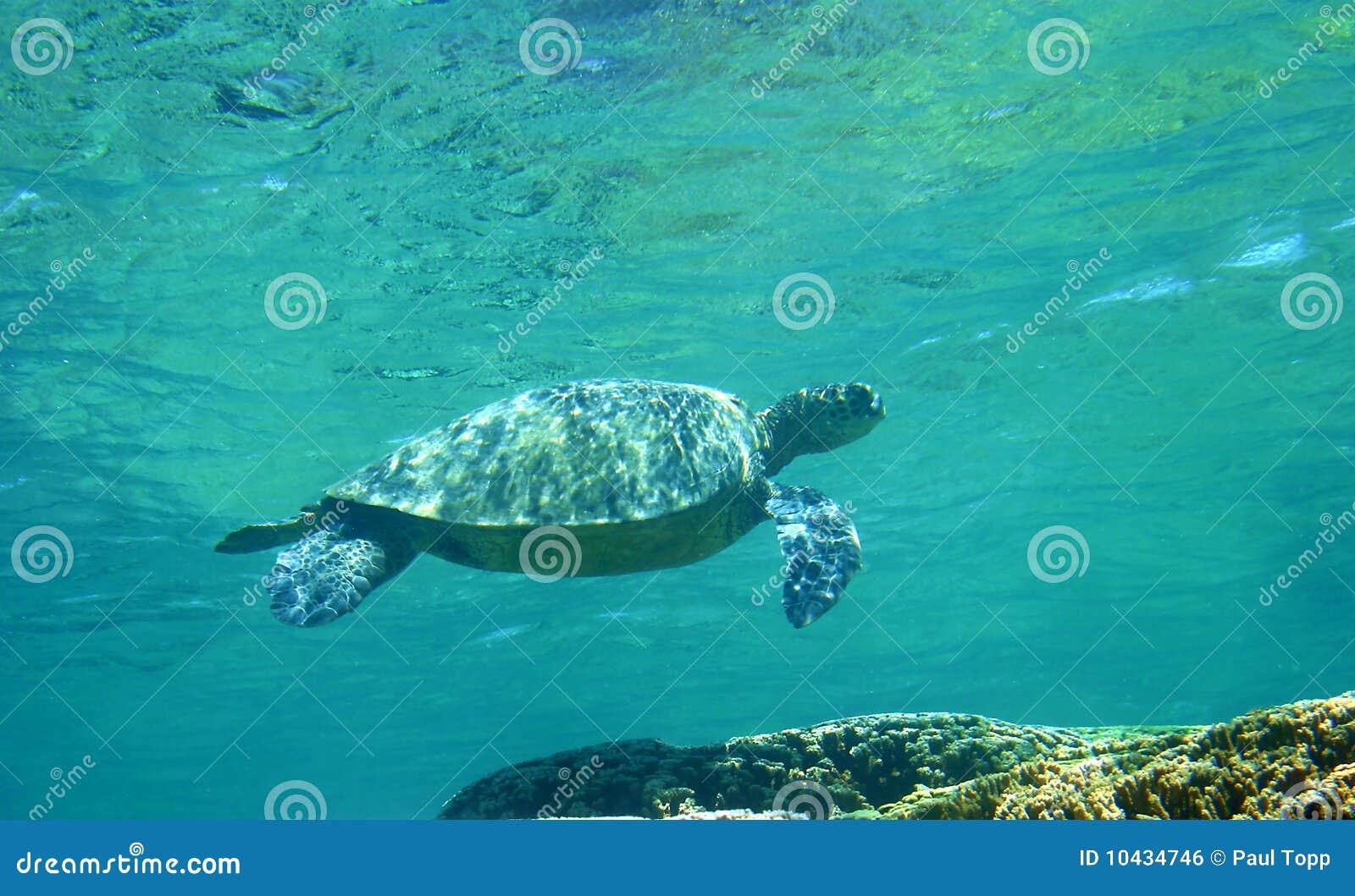 Tartaruga di mare verde dell Hawai