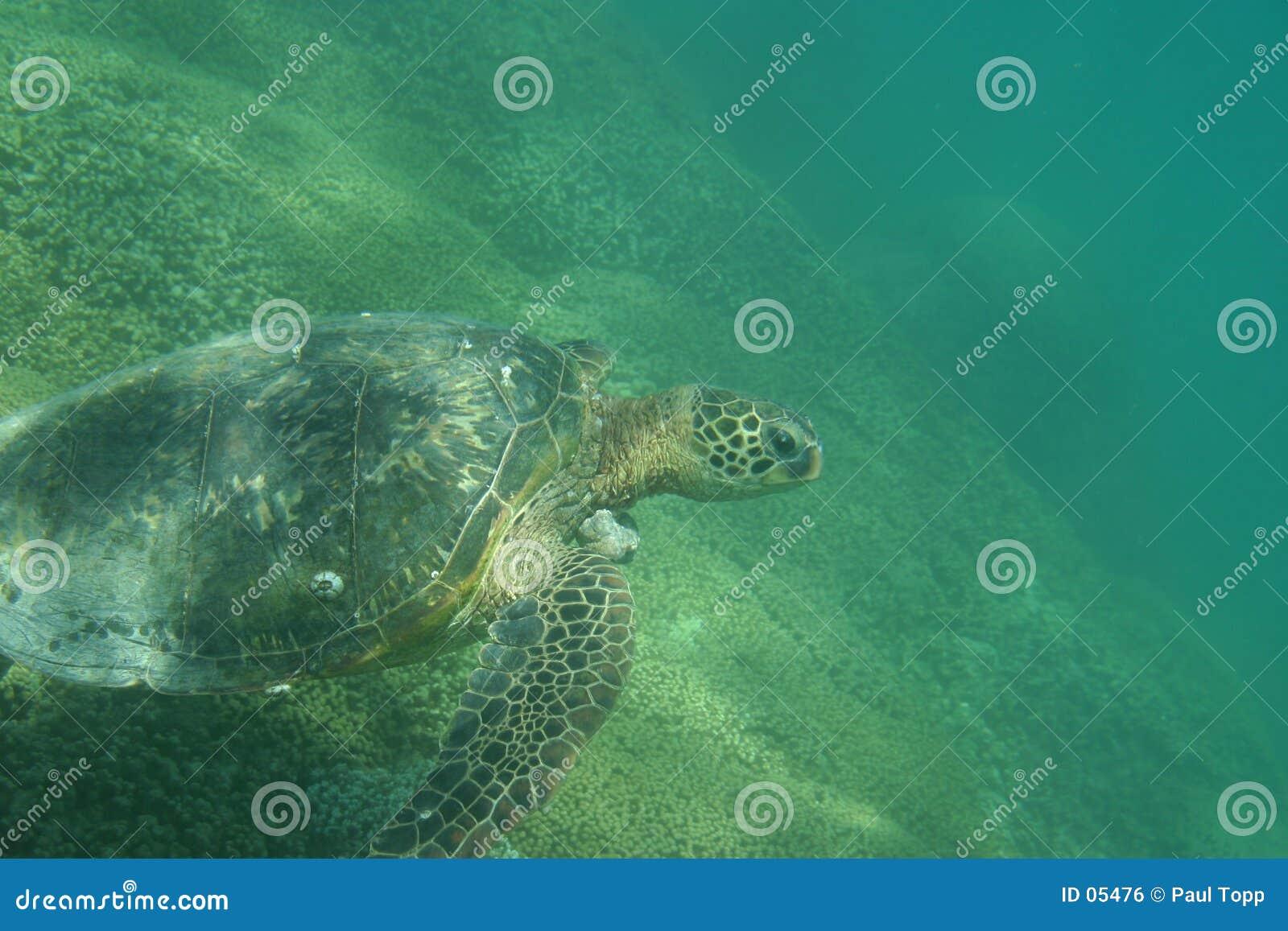 Tartaruga di mare verde hawaiana