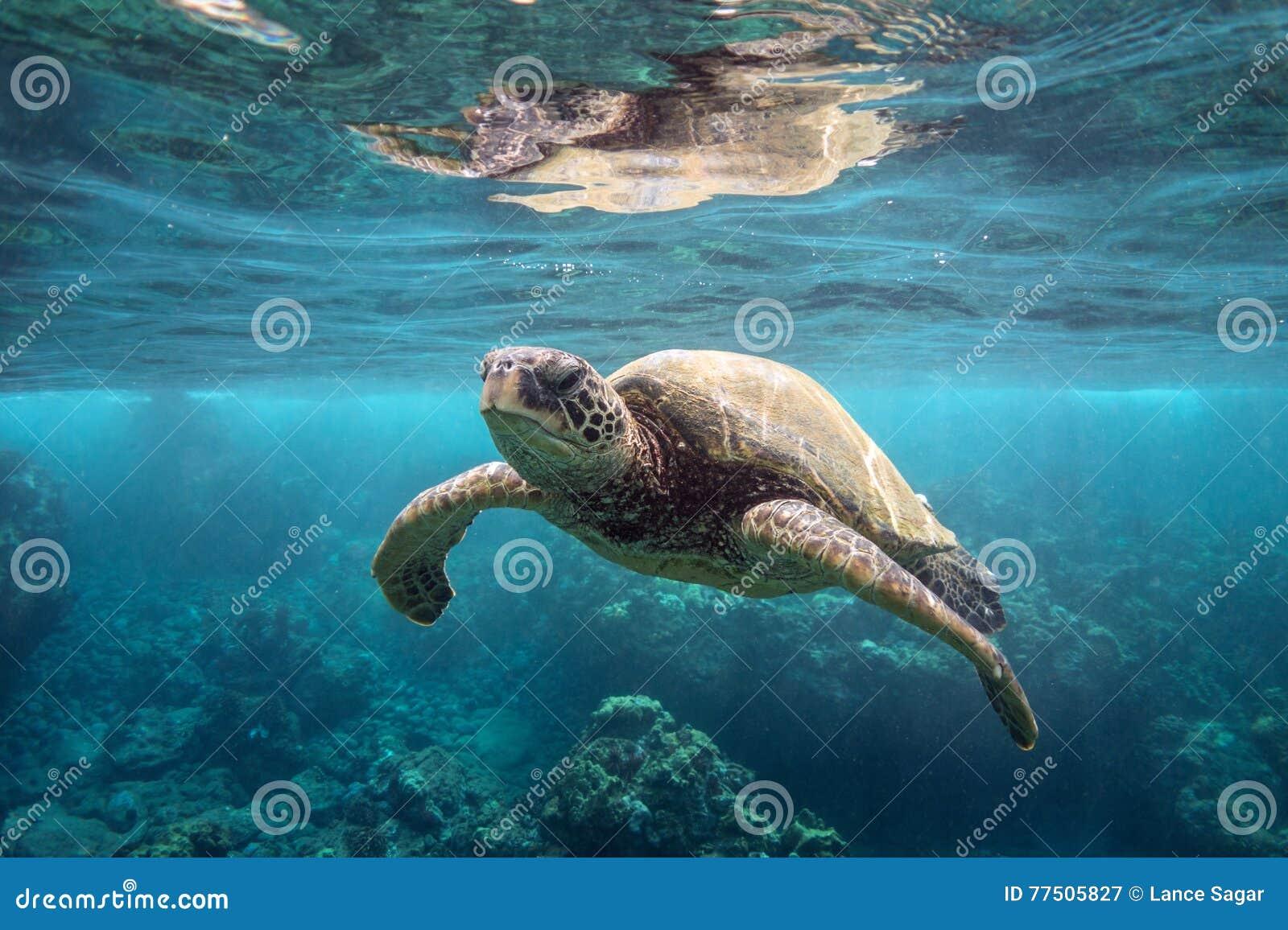 Tartaruga di mare verde in superficie
