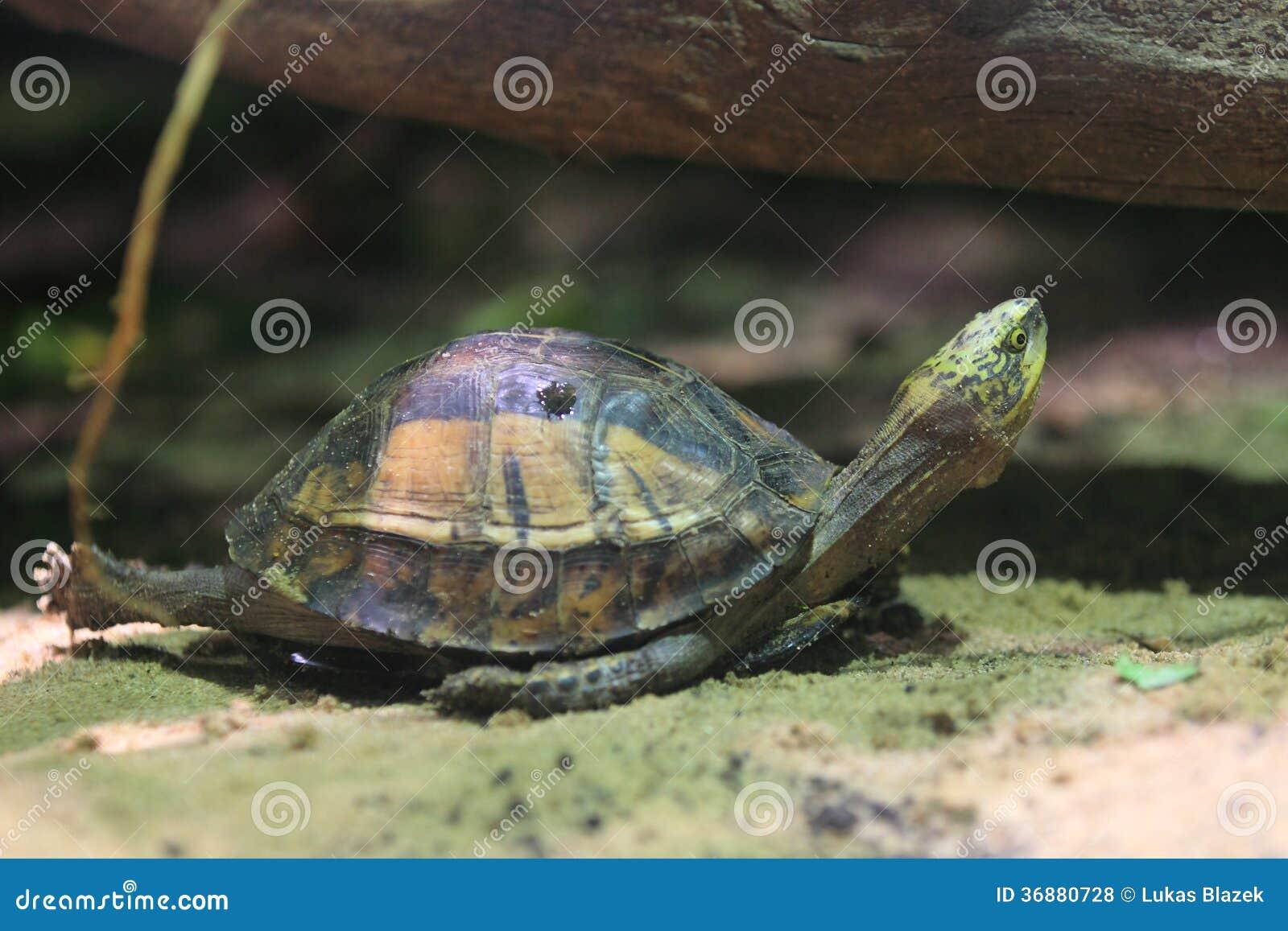 Download Tartaruga Di Scatola Tra L'India E La Cina Fotografia Stock - Immagine di casella, indochinese: 36880728