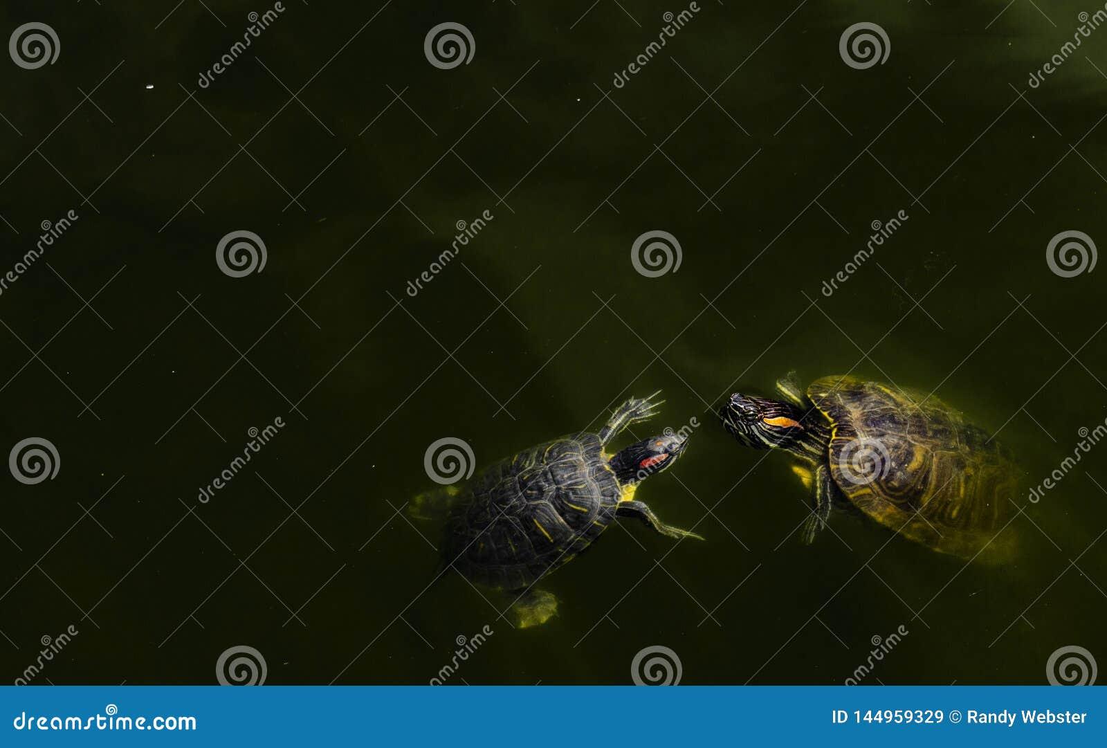 Tartaruga em uma lagoa com peixes