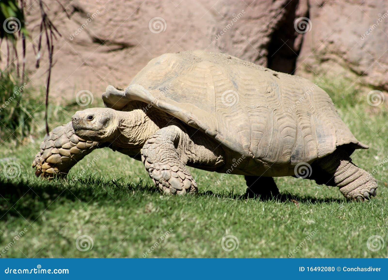 Tartaruga gigante de Aldabra