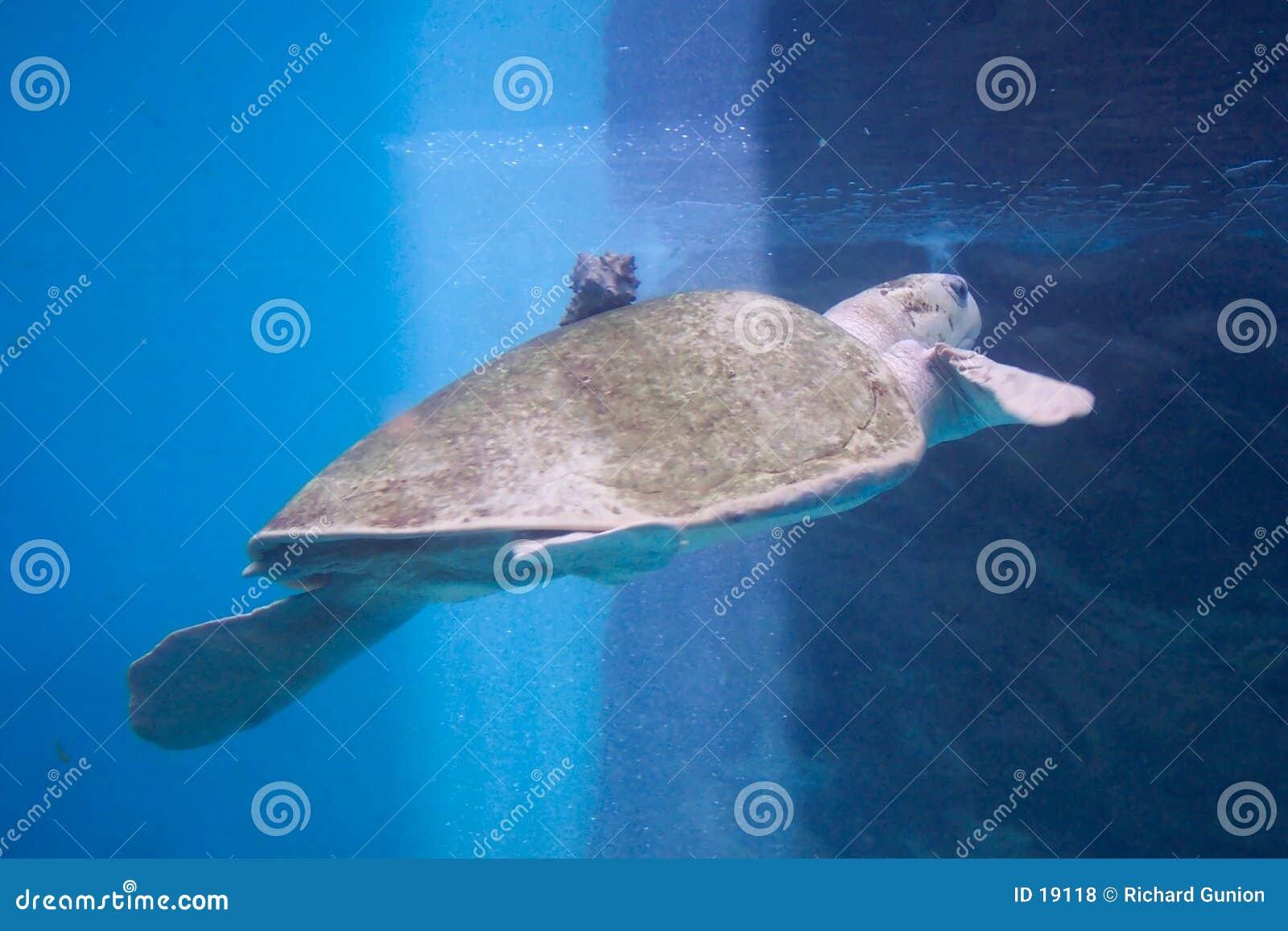 Tartaruga-Huatulco México do mar