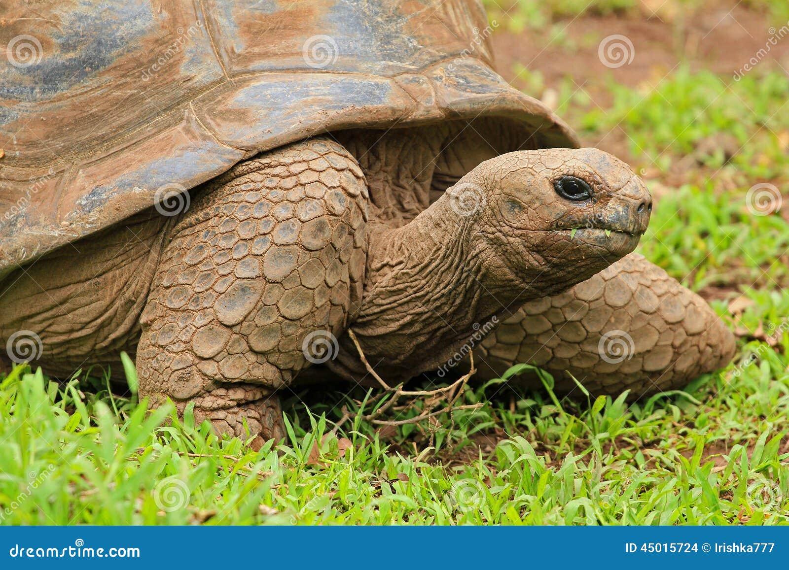 Tartaruga in Mauritius