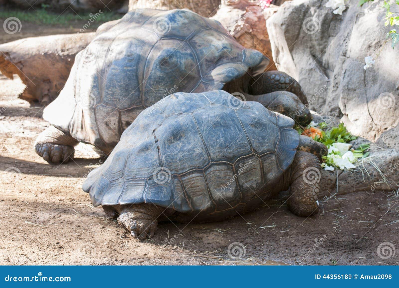 Tartaruga molto vecchia
