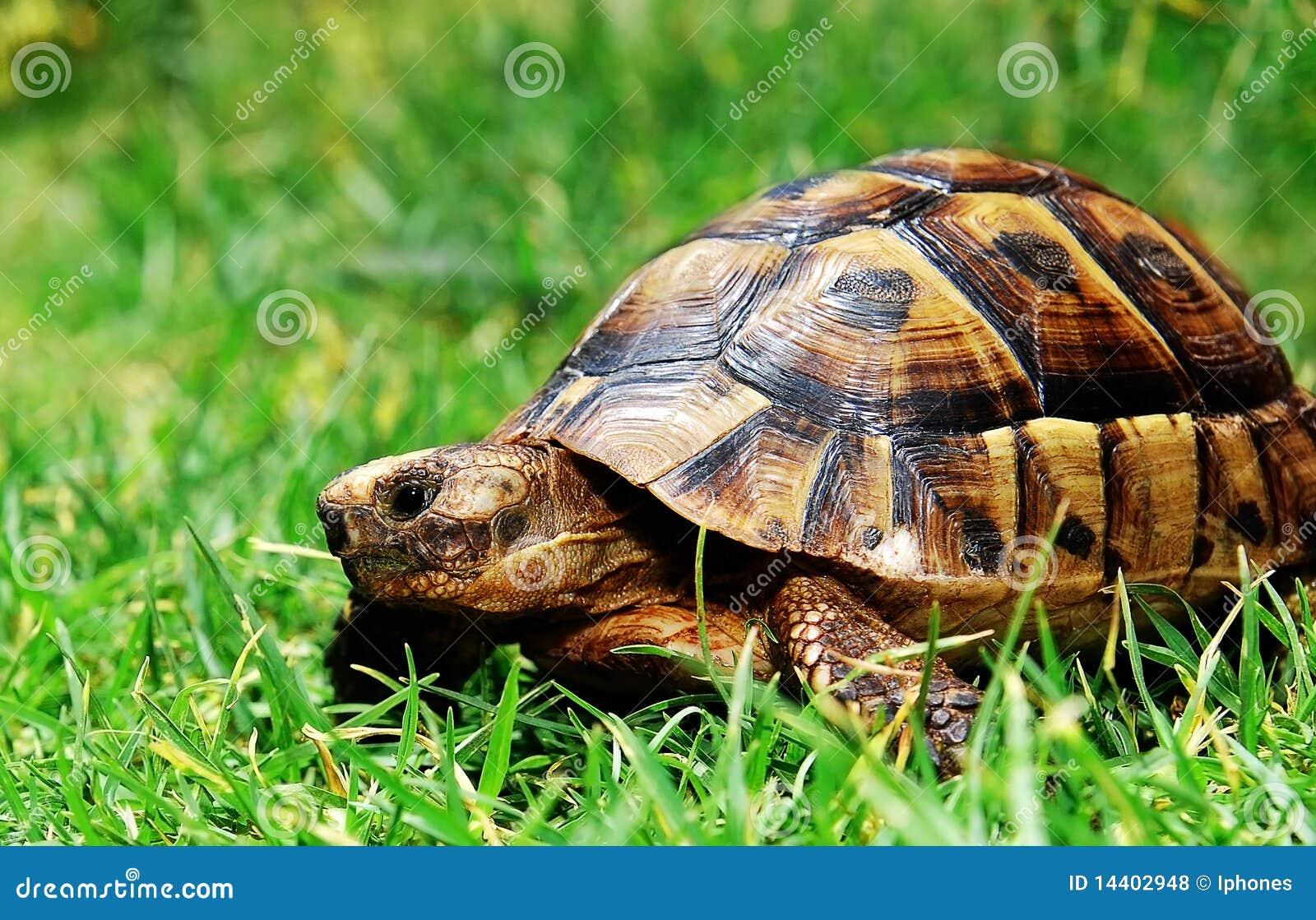 Tartaruga na grama verde