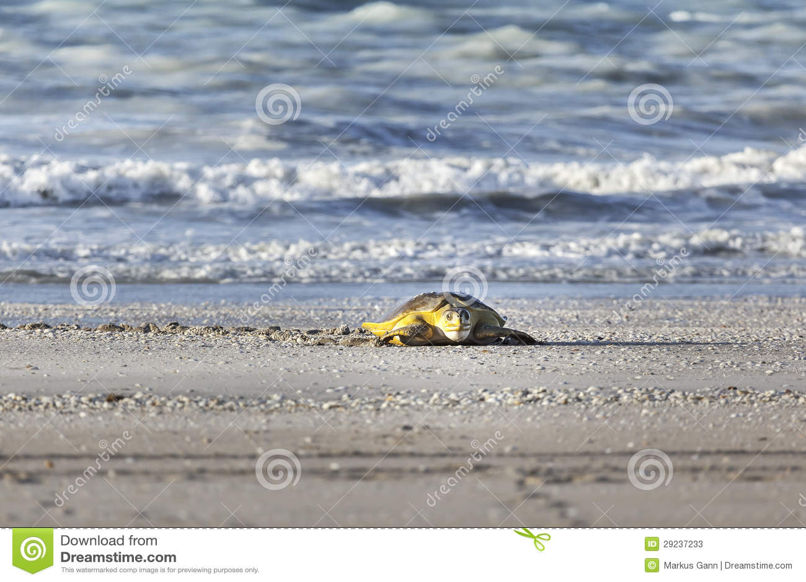 Download Tartaruga na praia imagem de stock. Imagem de olho, oceano - 29237233