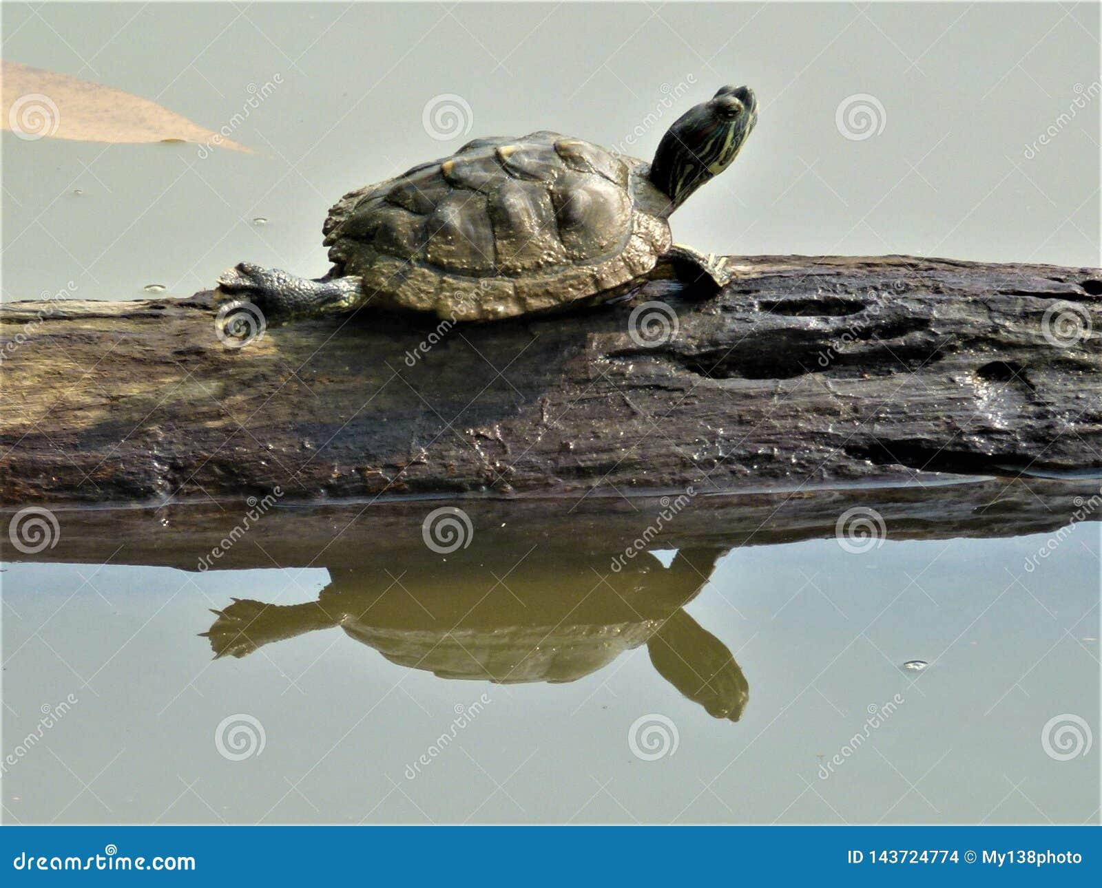 Tartaruga pequena bonito que relaxa em um tronco de árvore em um jardim do lago