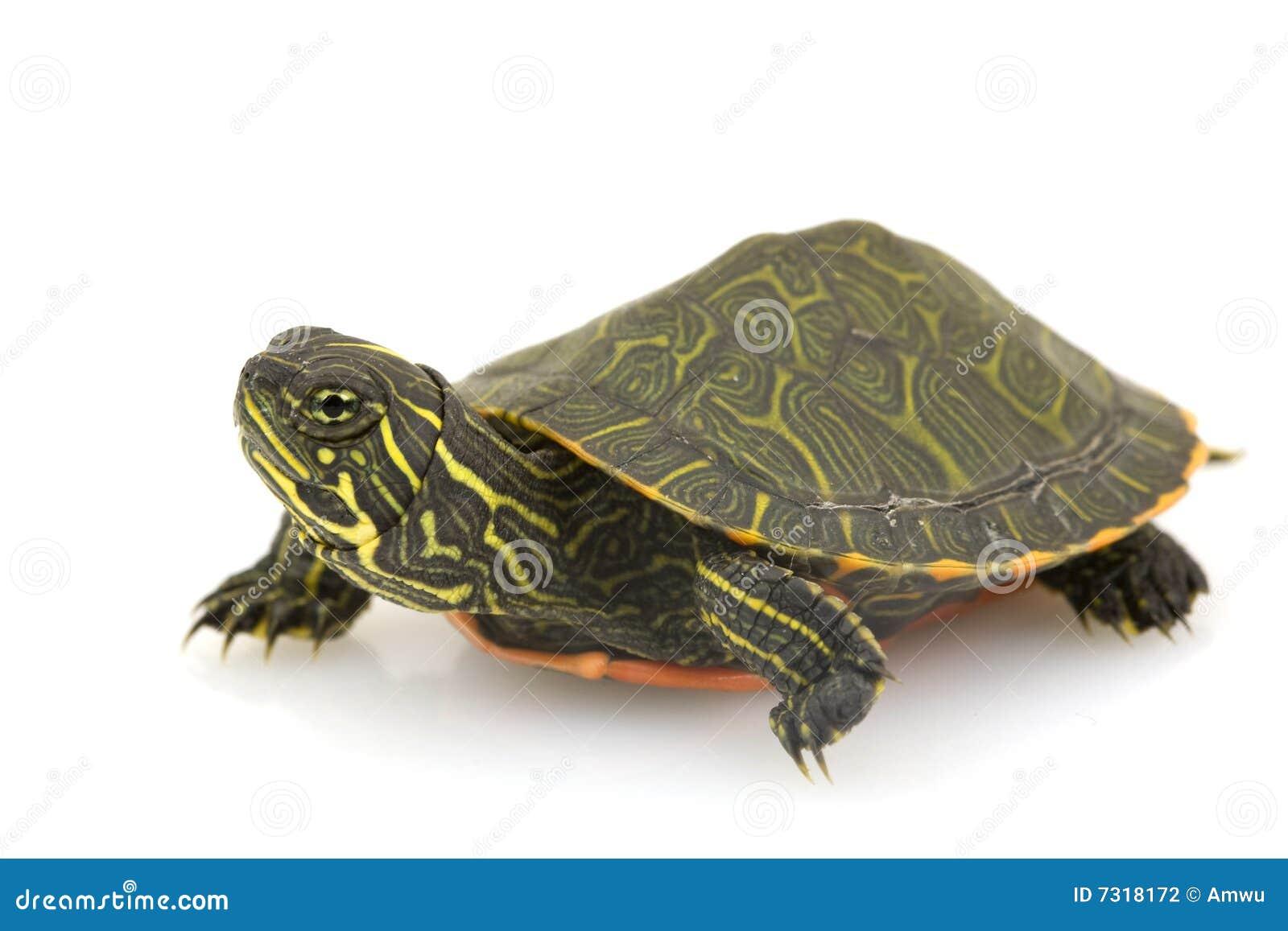 Tartaruga Rosso-gonfiata nordica
