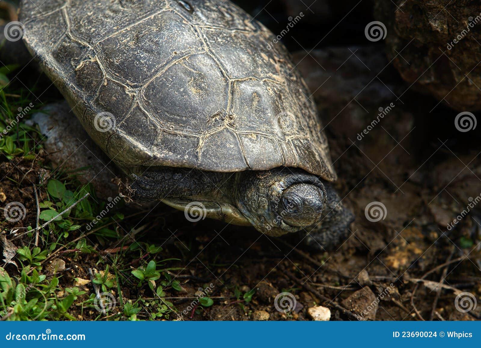 Tartaruga spagnola dello stagno fotografia stock for Stagno per tartarughe