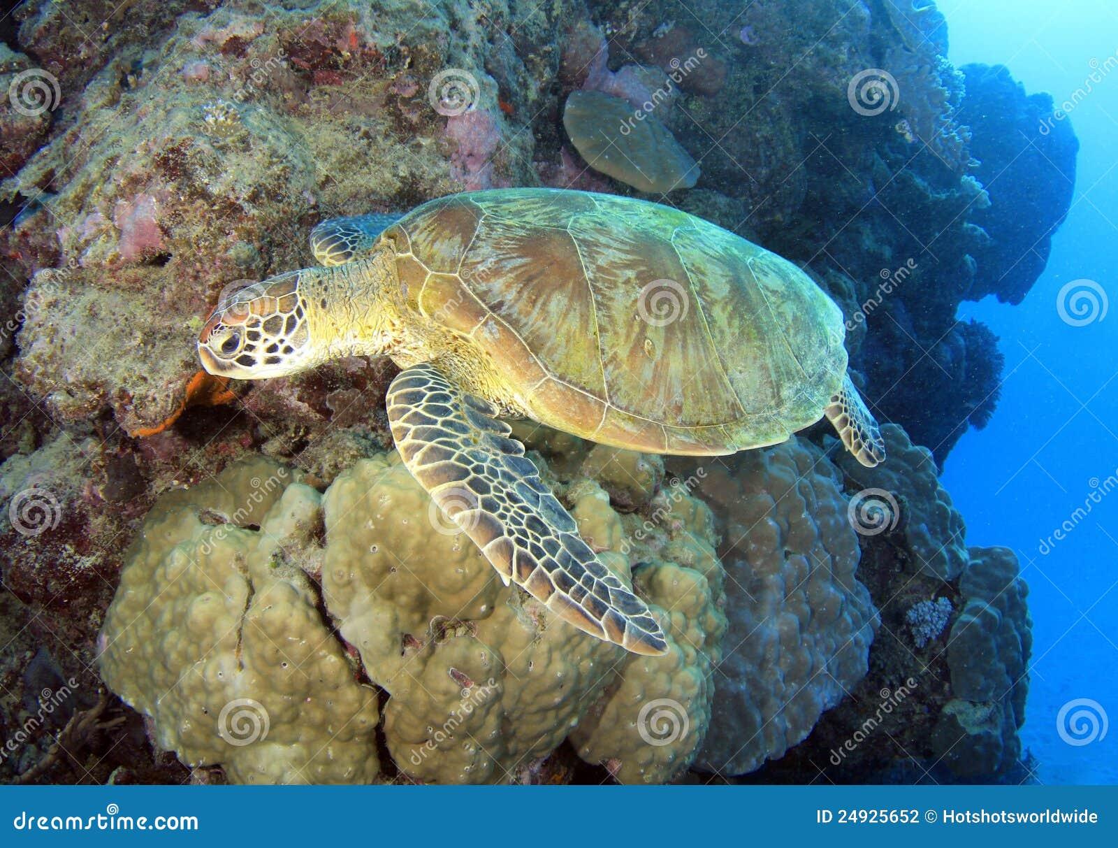 Tartaruga verde, grande recife de barreira, montes de pedras, Austrália
