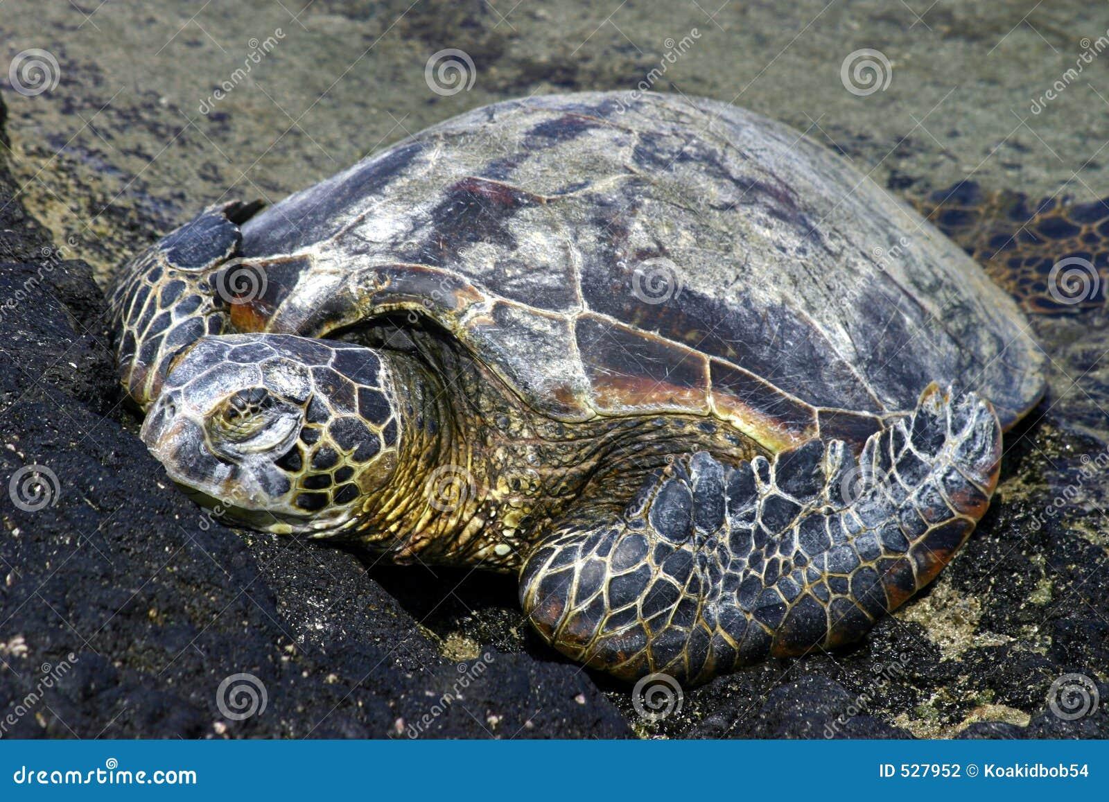 Tartaruga verde que Basking