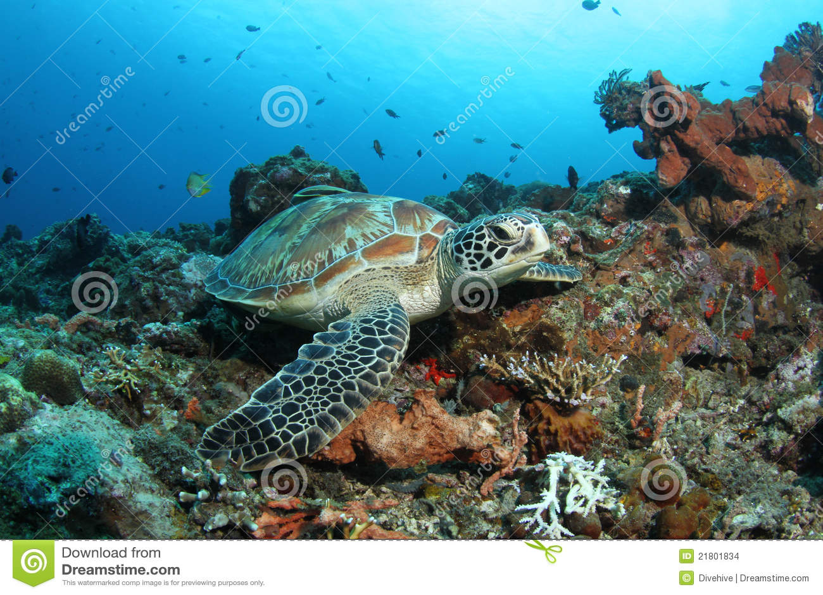 Tartaruga verde que senta-se no recife coral tropical